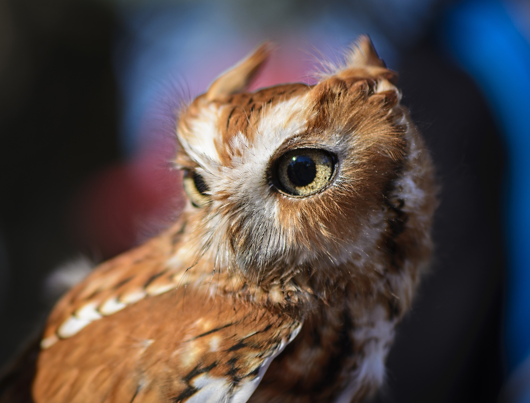 129097 download wallpaper Animals, Owl, Predator, Bird, Eyes screensavers and pictures for free