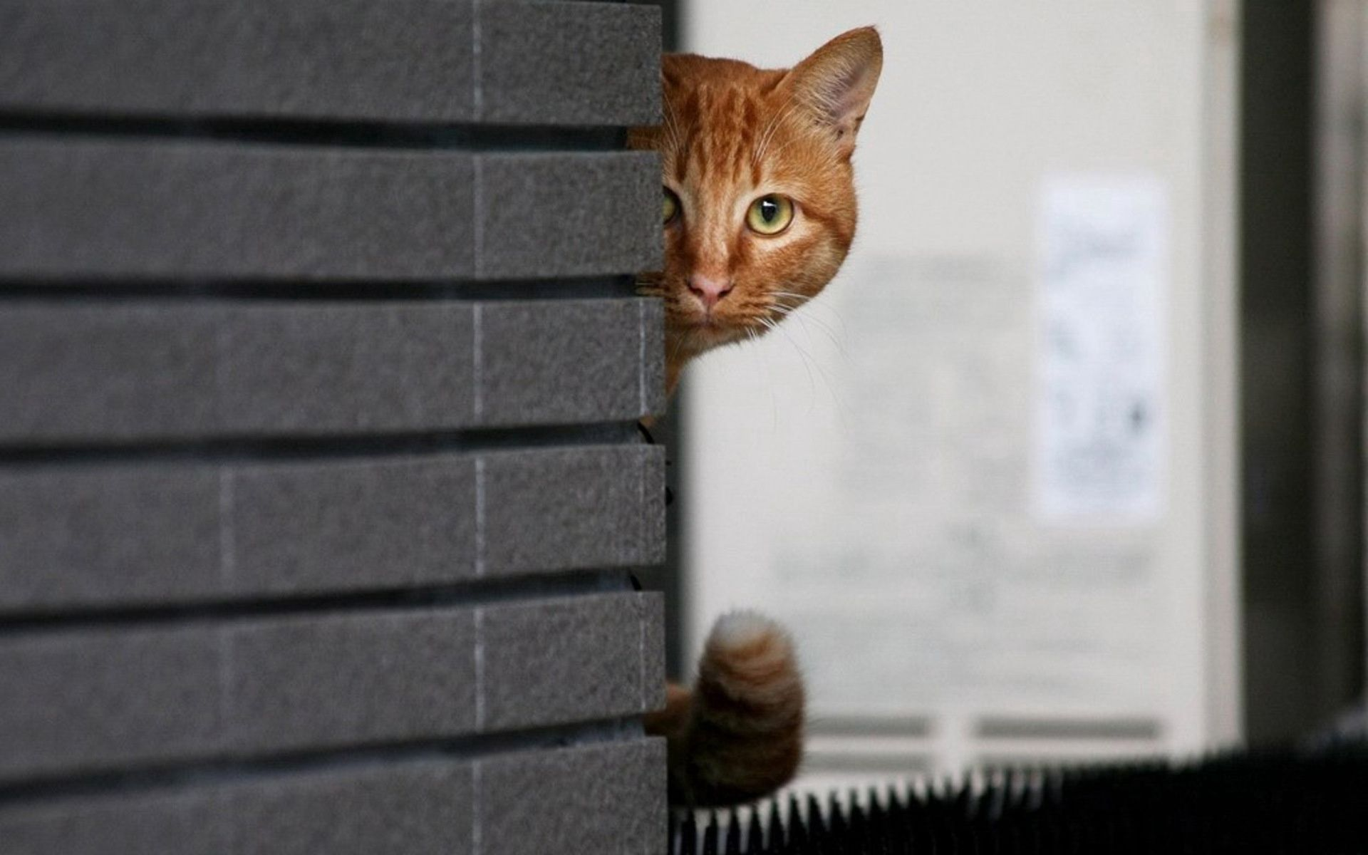 104840 download wallpaper Animals, Cat, Wall, Peek Out, Look Out, Hide screensavers and pictures for free