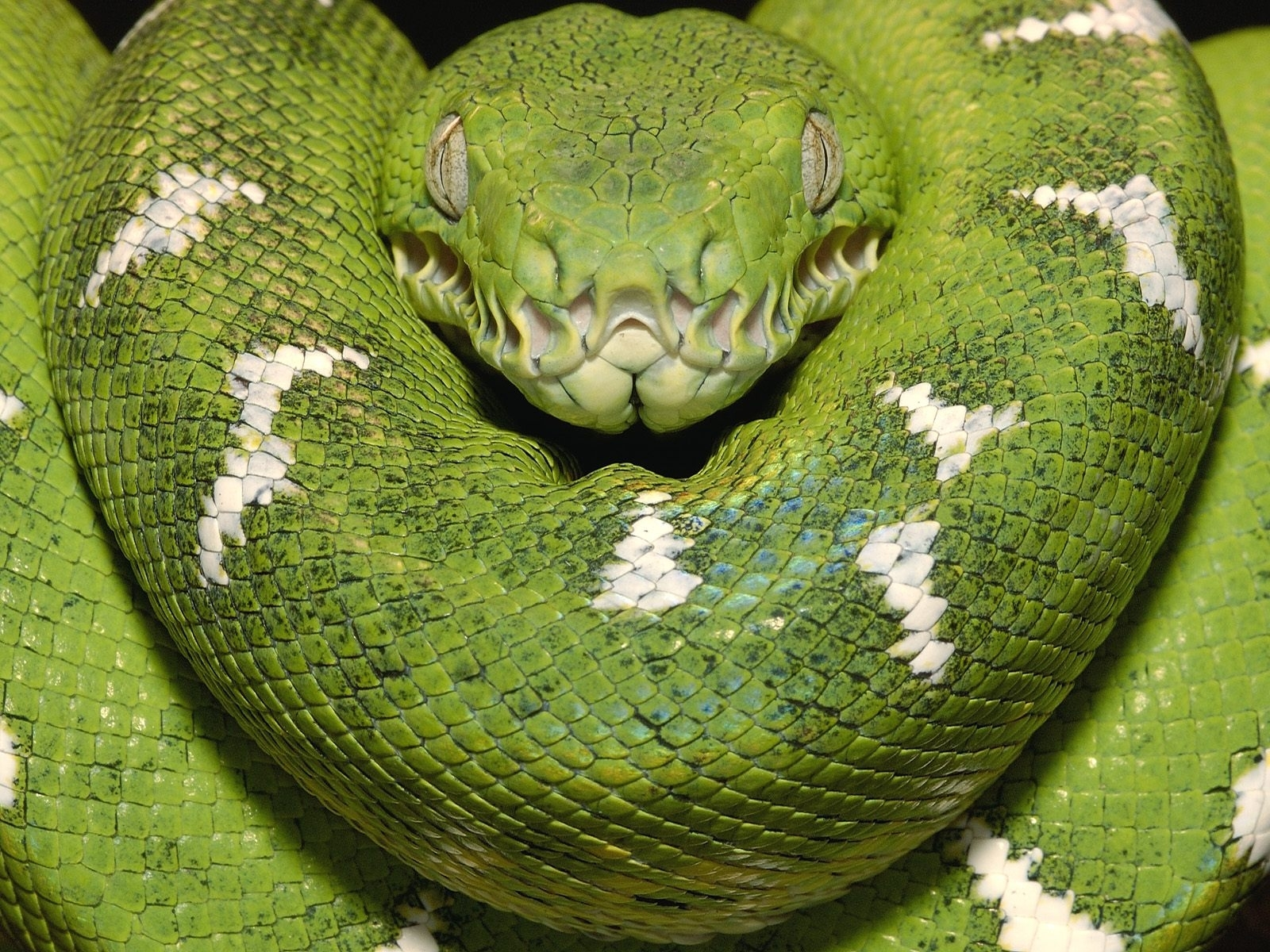 6565 download wallpaper Animals, Snakes screensavers and pictures for free