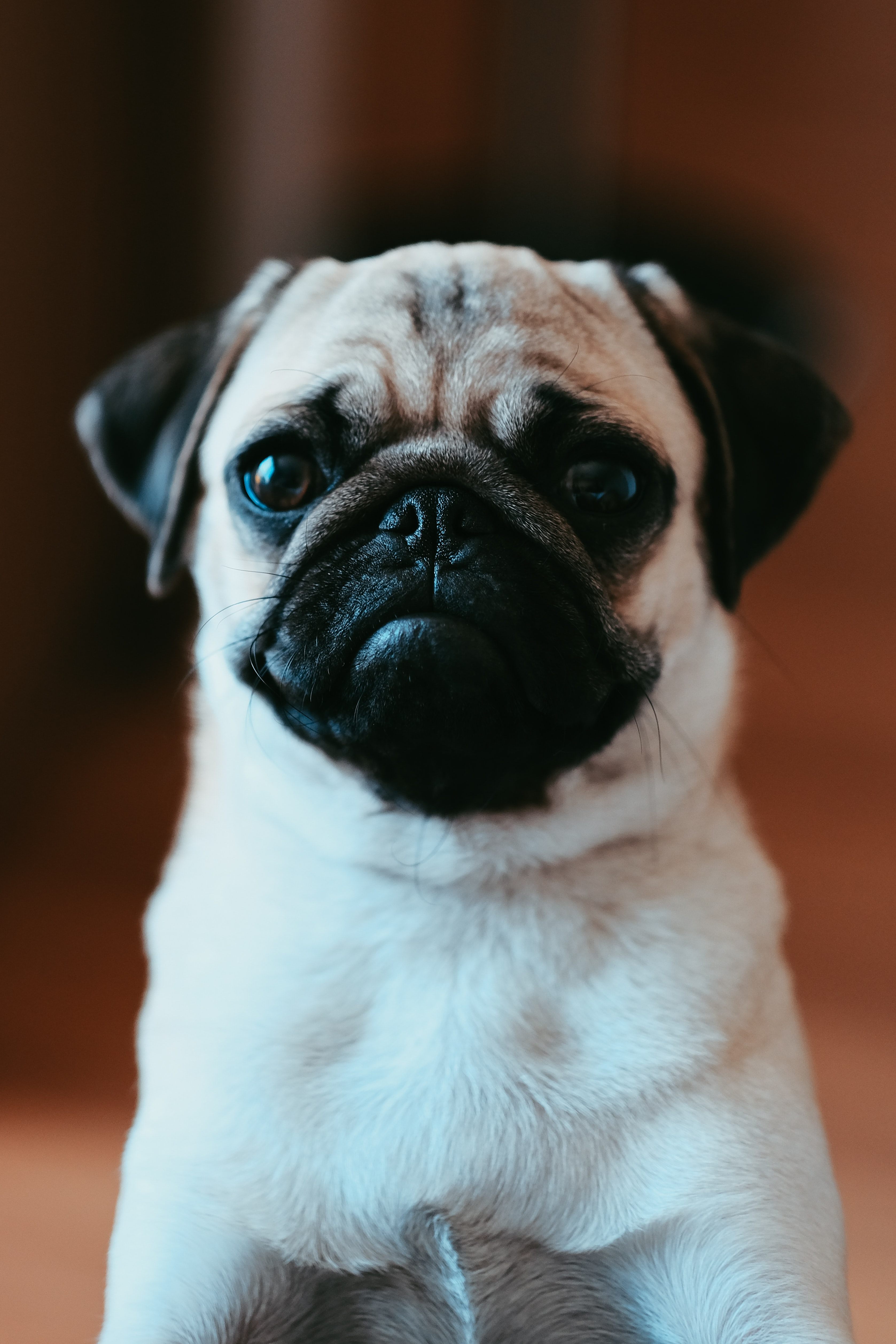 143206 download wallpaper Animals, Pug, Pet, Dog, Nice, Sweetheart, Sight, Opinion screensavers and pictures for free