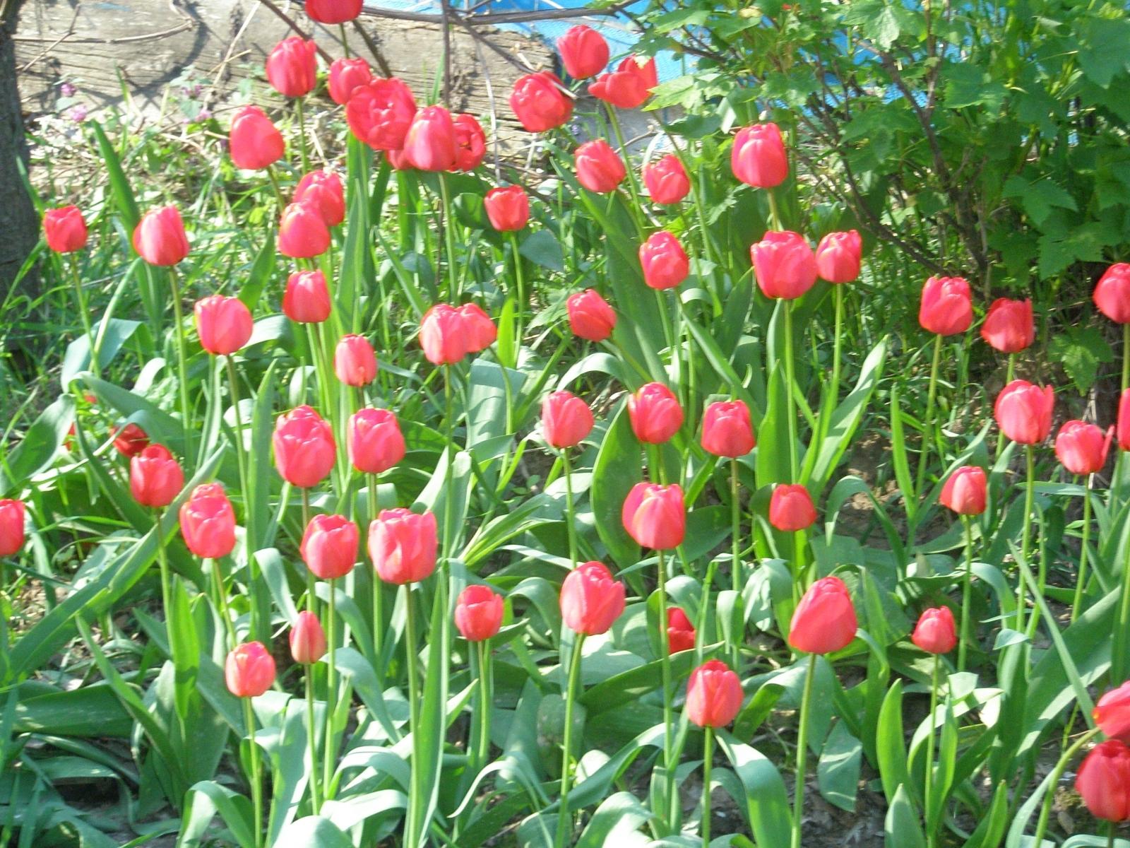 Скачать картинку Растения, Тюльпаны в телефон бесплатно.