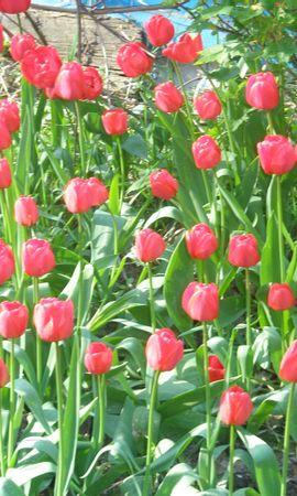 4525 скачать обои Растения, Тюльпаны - заставки и картинки бесплатно