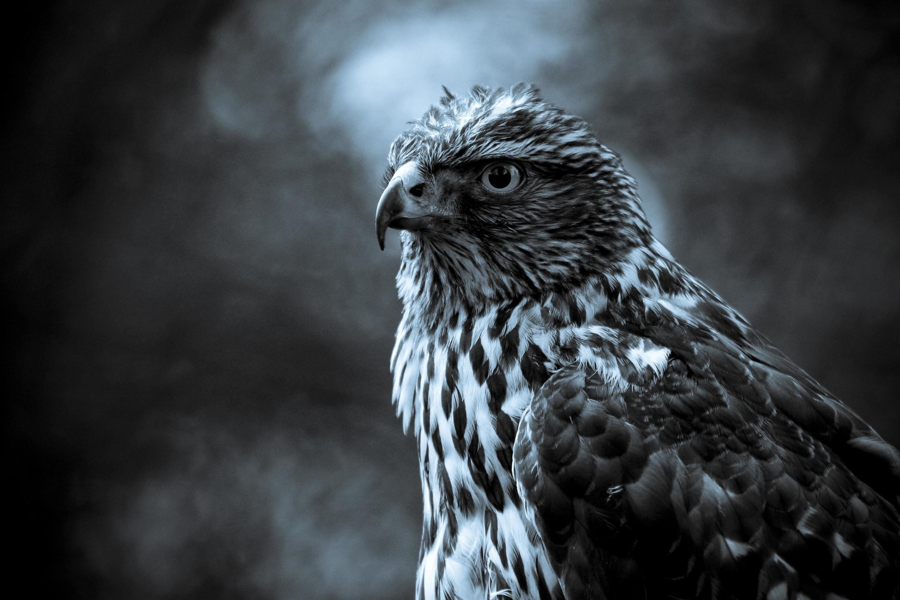 15169 download wallpaper Animals, Birds, Art Photo, Falcons screensavers and pictures for free