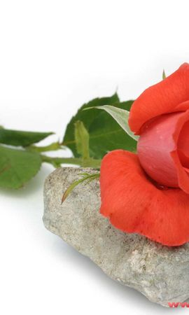 3838 descargar fondo de pantalla Plantas, Flores, Roses: protectores de pantalla e imágenes gratis