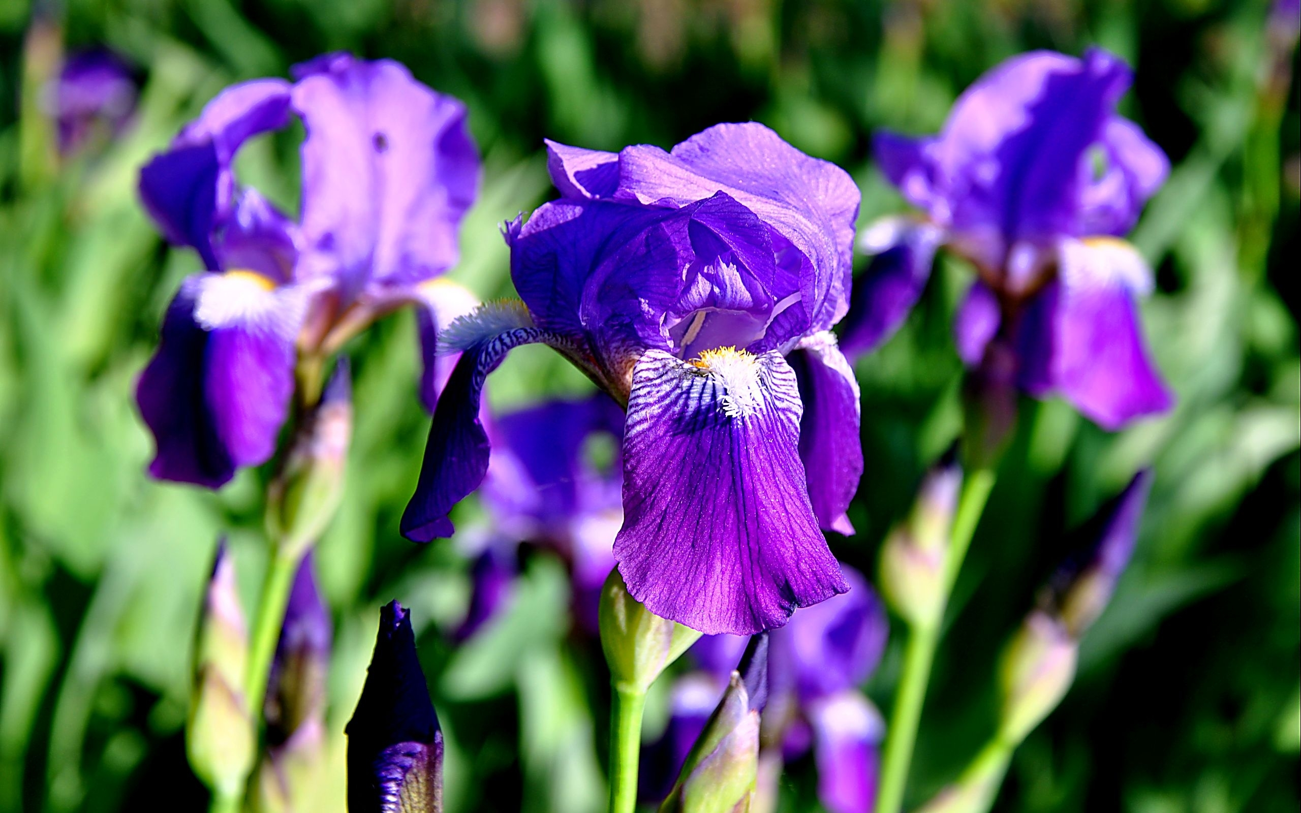 40982 скачать обои Растения, Цветы, Ирис - заставки и картинки бесплатно