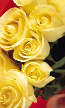 5579 télécharger le fond d'écran Plantes, Fleurs, Roses - économiseurs d'écran et images gratuitement