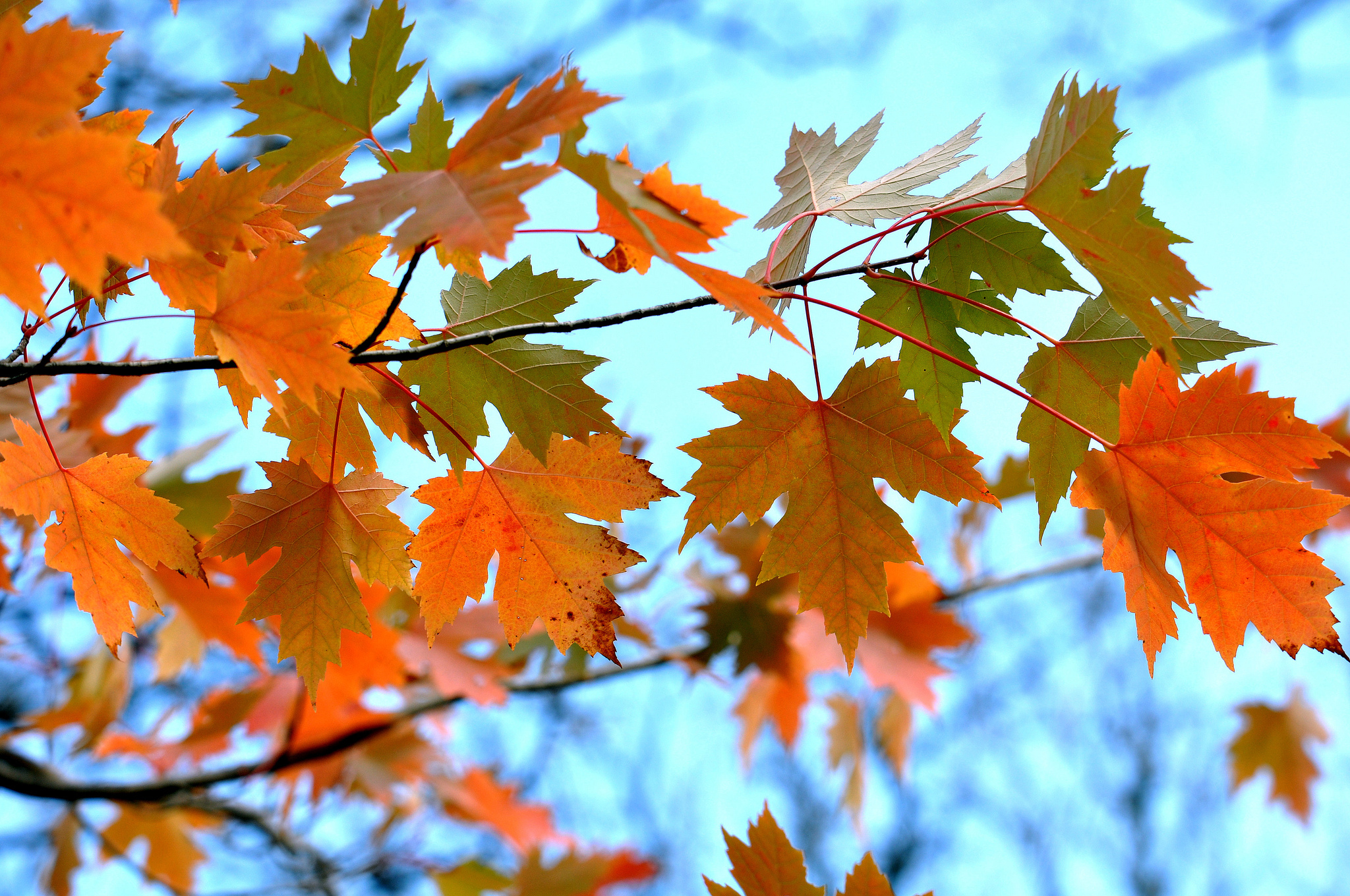 58171 download wallpaper Nature, Maple, Leaves, Branches screensavers and pictures for free