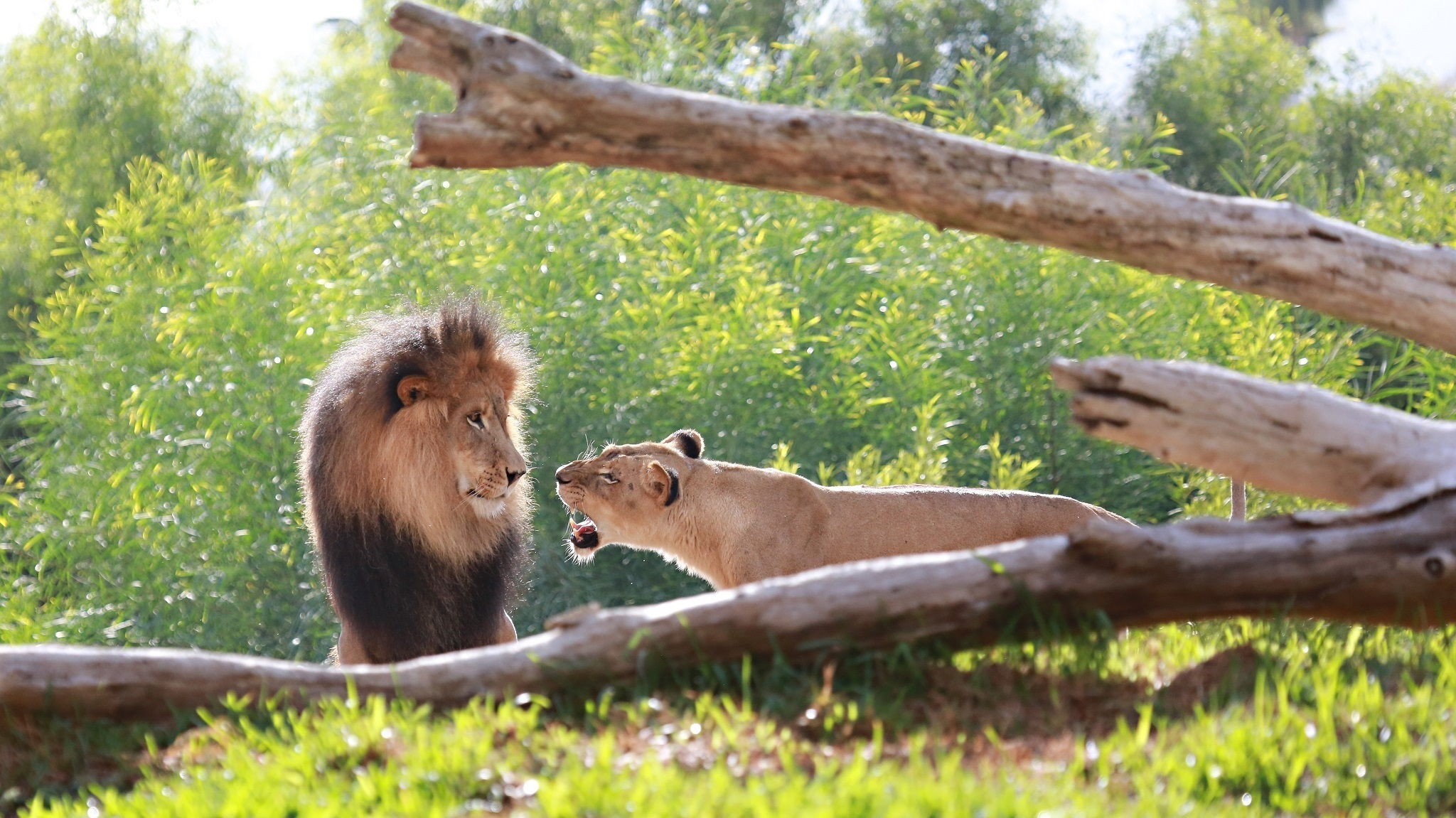 94829 Screensavers and Wallpapers Predators for phone. Download Animals, Grass, Predators, Wood, Tree, Lion, Lioness pictures for free