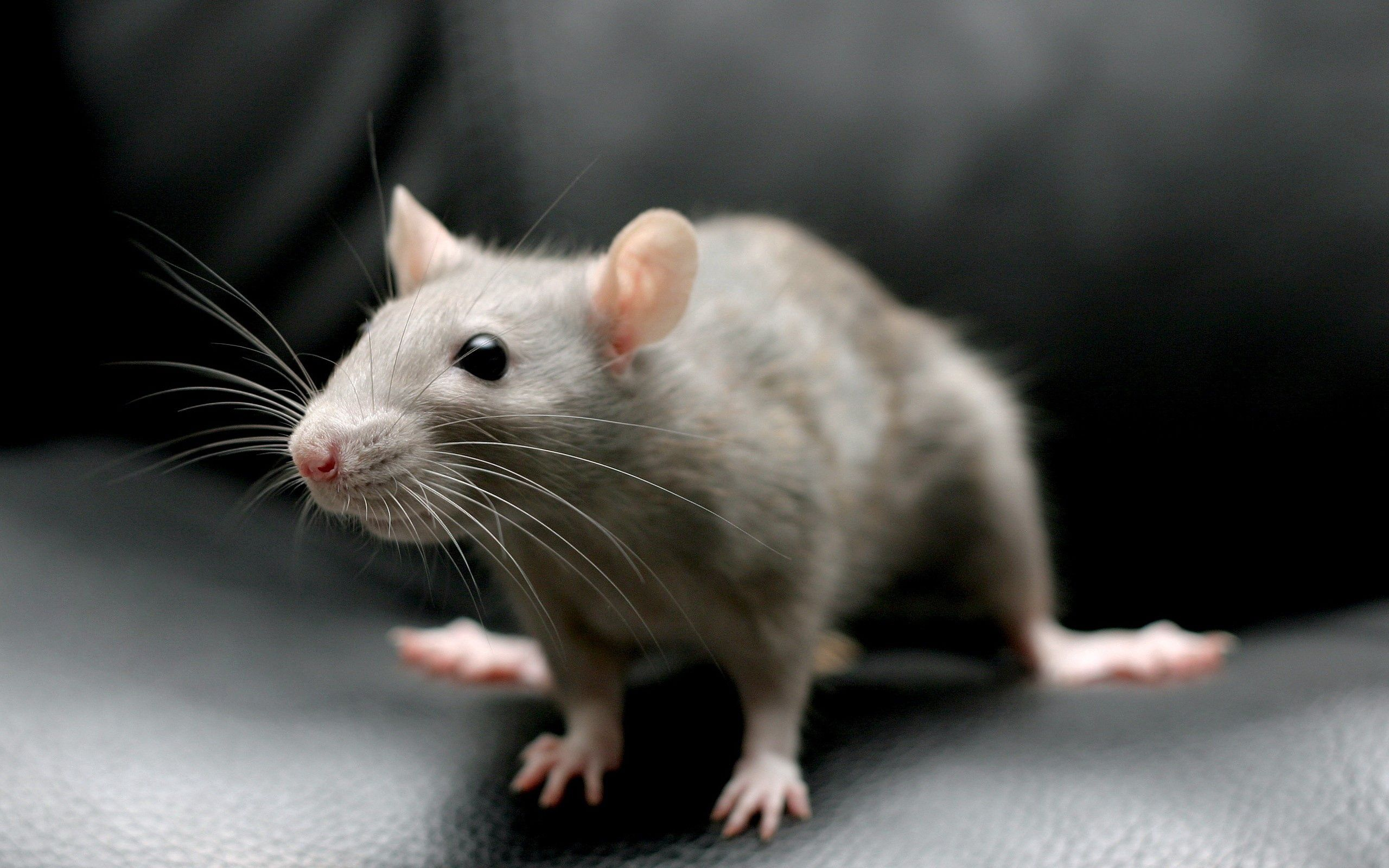 61066 download wallpaper Animals, Mouse, Rodent, Sit, Grey screensavers and pictures for free