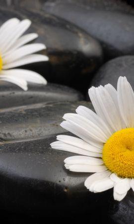 42086 télécharger le fond d'écran Plantes, Fleurs, Camomille - économiseurs d'écran et images gratuitement