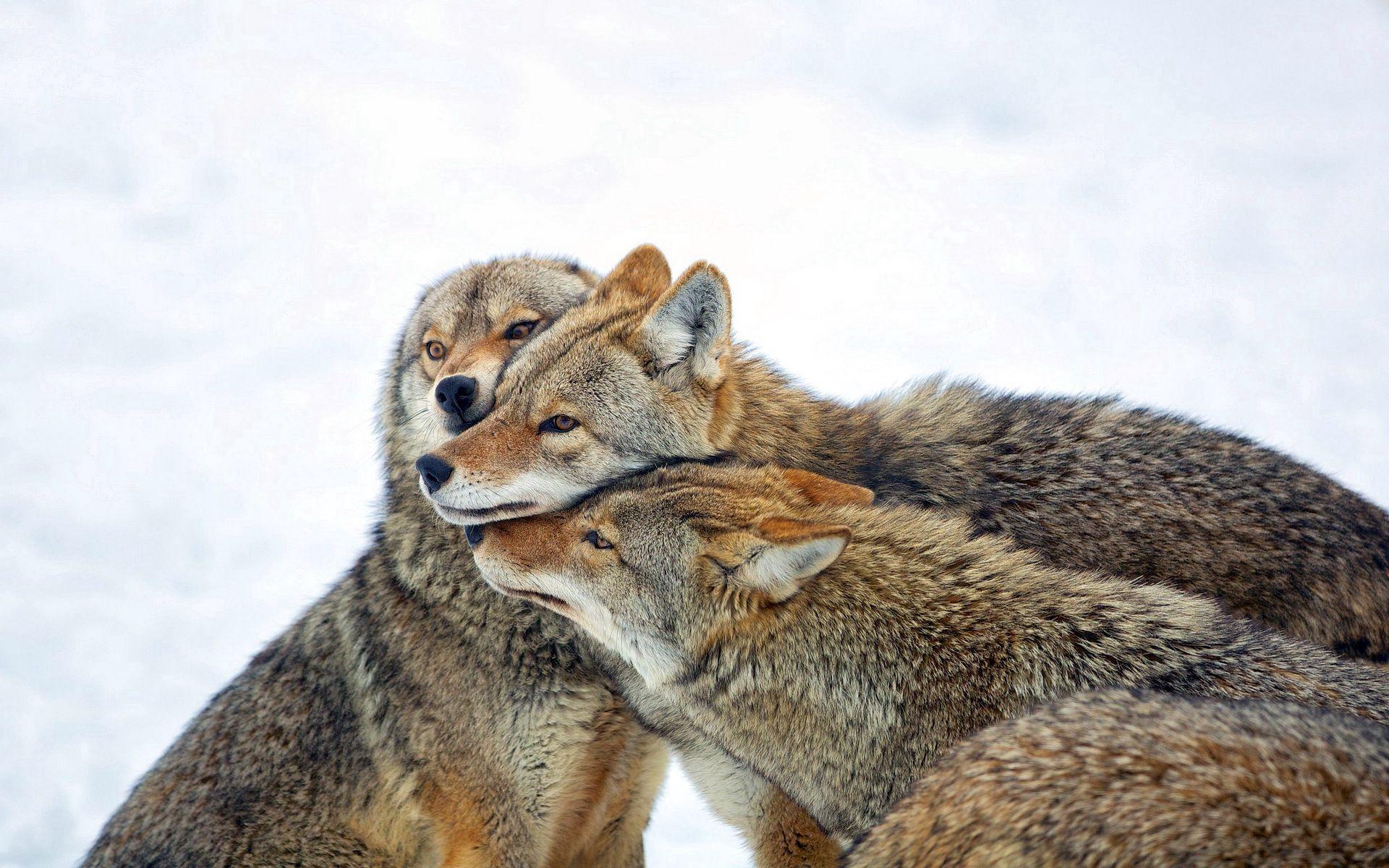 137991 Hintergrundbild herunterladen Wölfe, Tiere, Winterreifen, Schnee, Herde, Pflege, Kojote - Bildschirmschoner und Bilder kostenlos