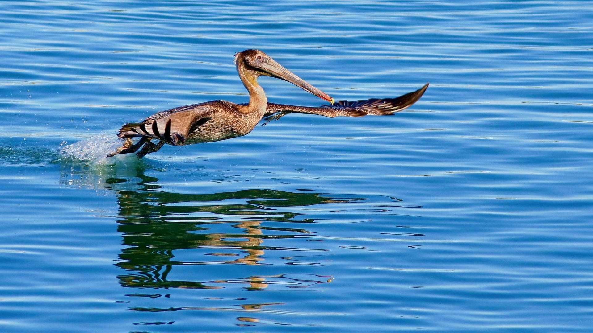 115605 download wallpaper Animals, California Pelican, Water, Bird, Hunting, Hunt, Flight screensavers and pictures for free