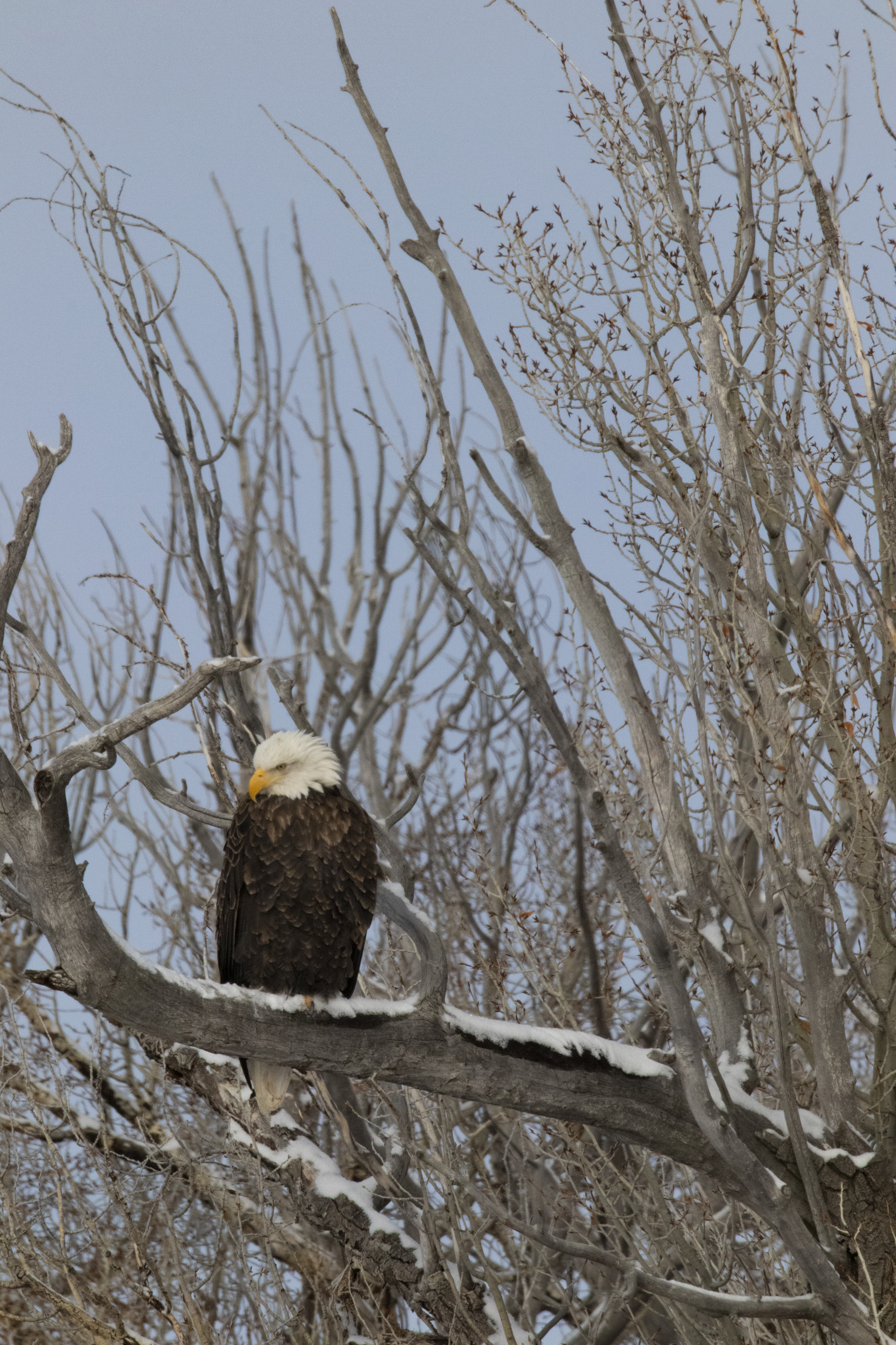 55512 download wallpaper Animals, Bald Eagle, White-Headed Eagle, Eagle, Bird, Wood, Tree, Branches screensavers and pictures for free