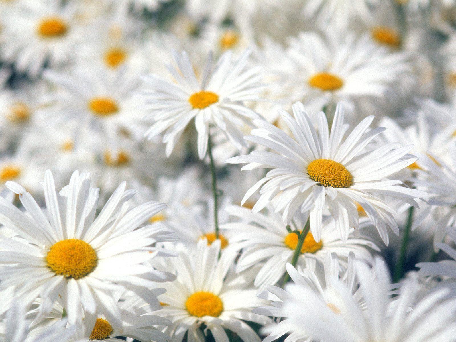 123084 Hintergrundbild herunterladen Blumen, Kamille, Pflanze, Makro, Feld - Bildschirmschoner und Bilder kostenlos
