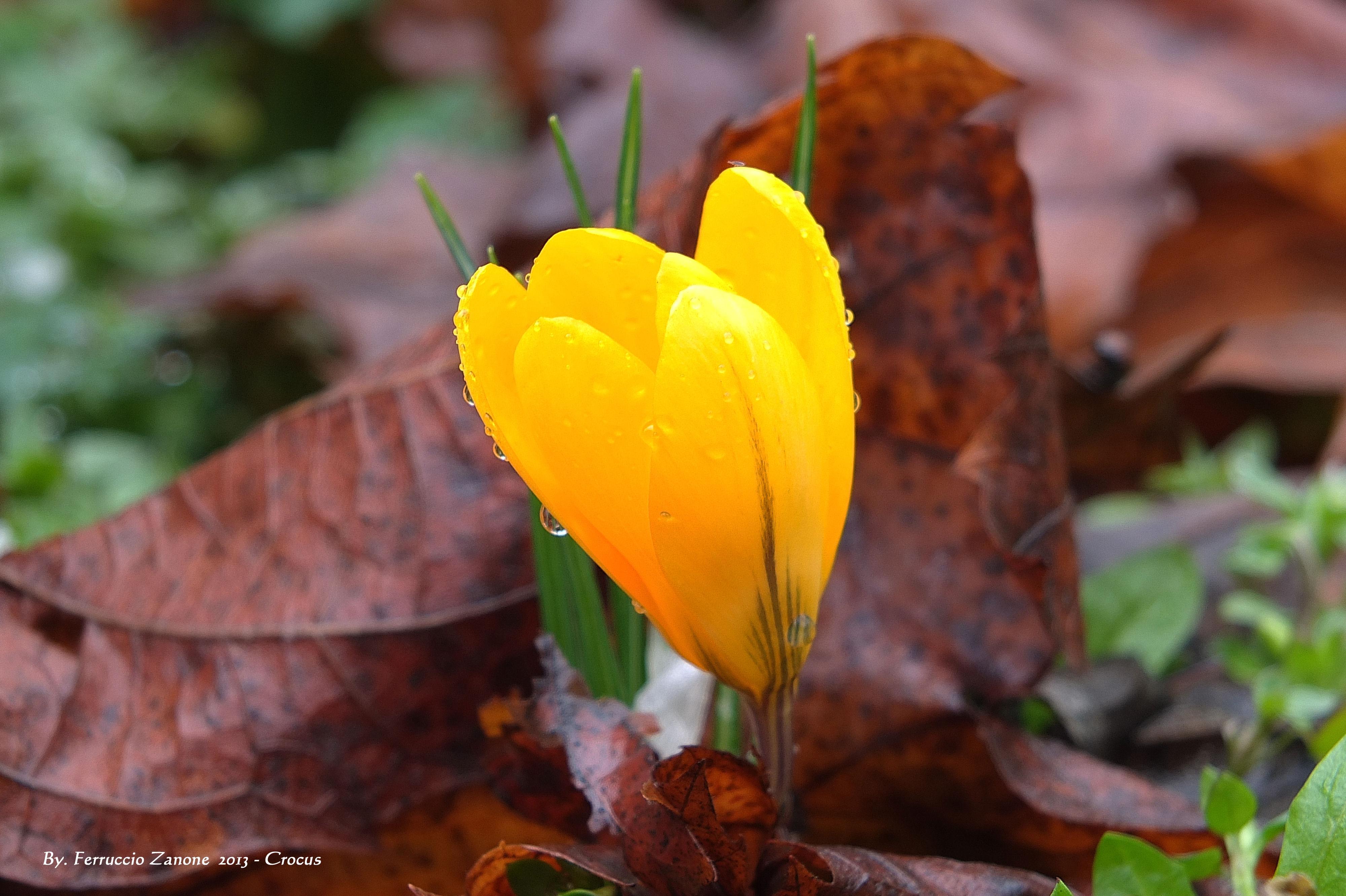 142724 скачать обои Цветок, Цветы, Капли, Желтый, Шафран - заставки и картинки бесплатно