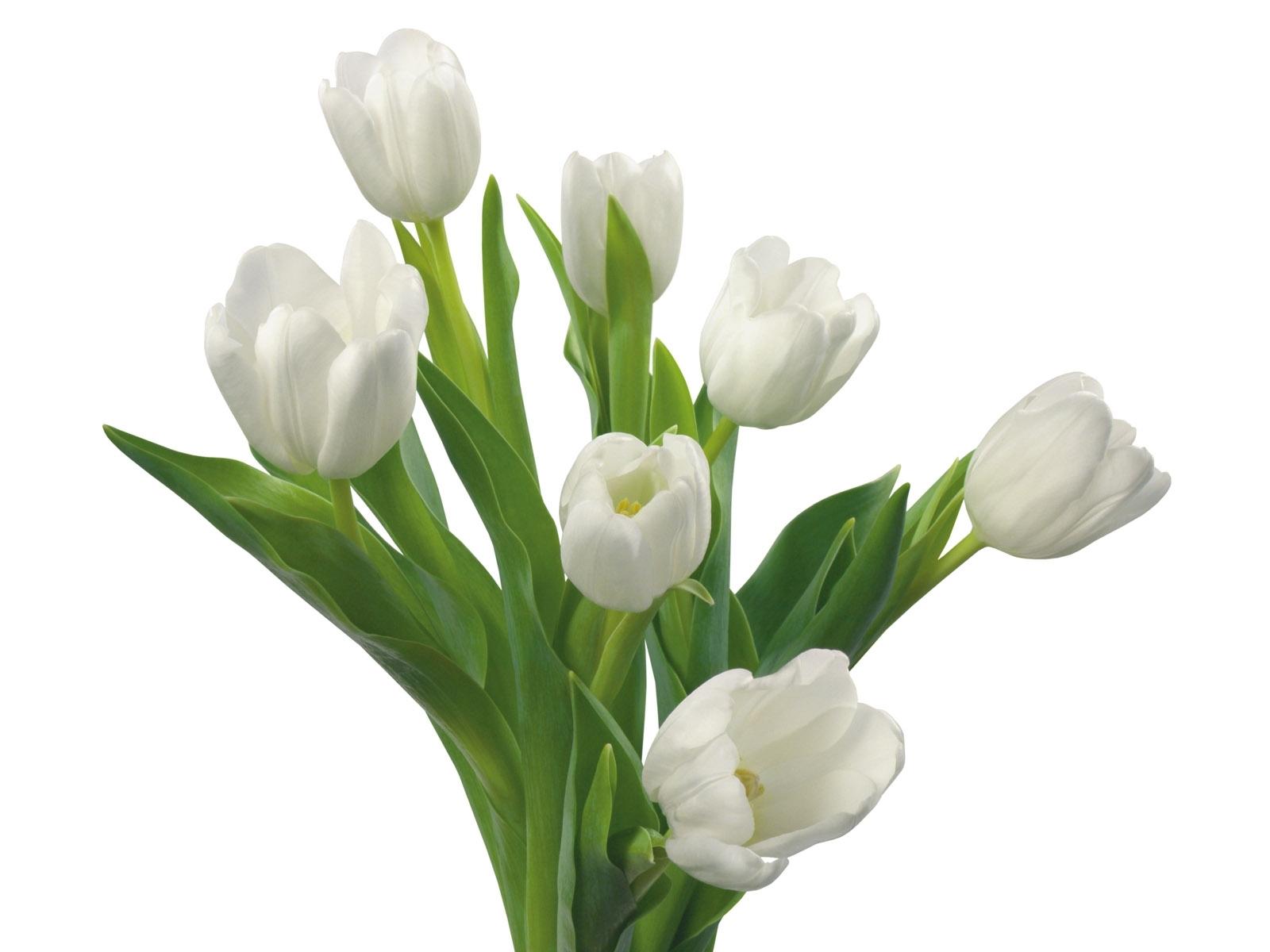 8041 скачать обои Растения, Цветы, Тюльпаны - заставки и картинки бесплатно