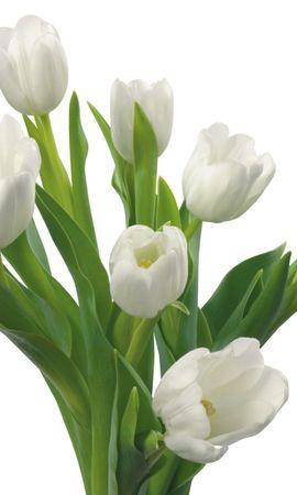8041 télécharger le fond d'écran Plantes, Fleurs, Tulipes - économiseurs d'écran et images gratuitement