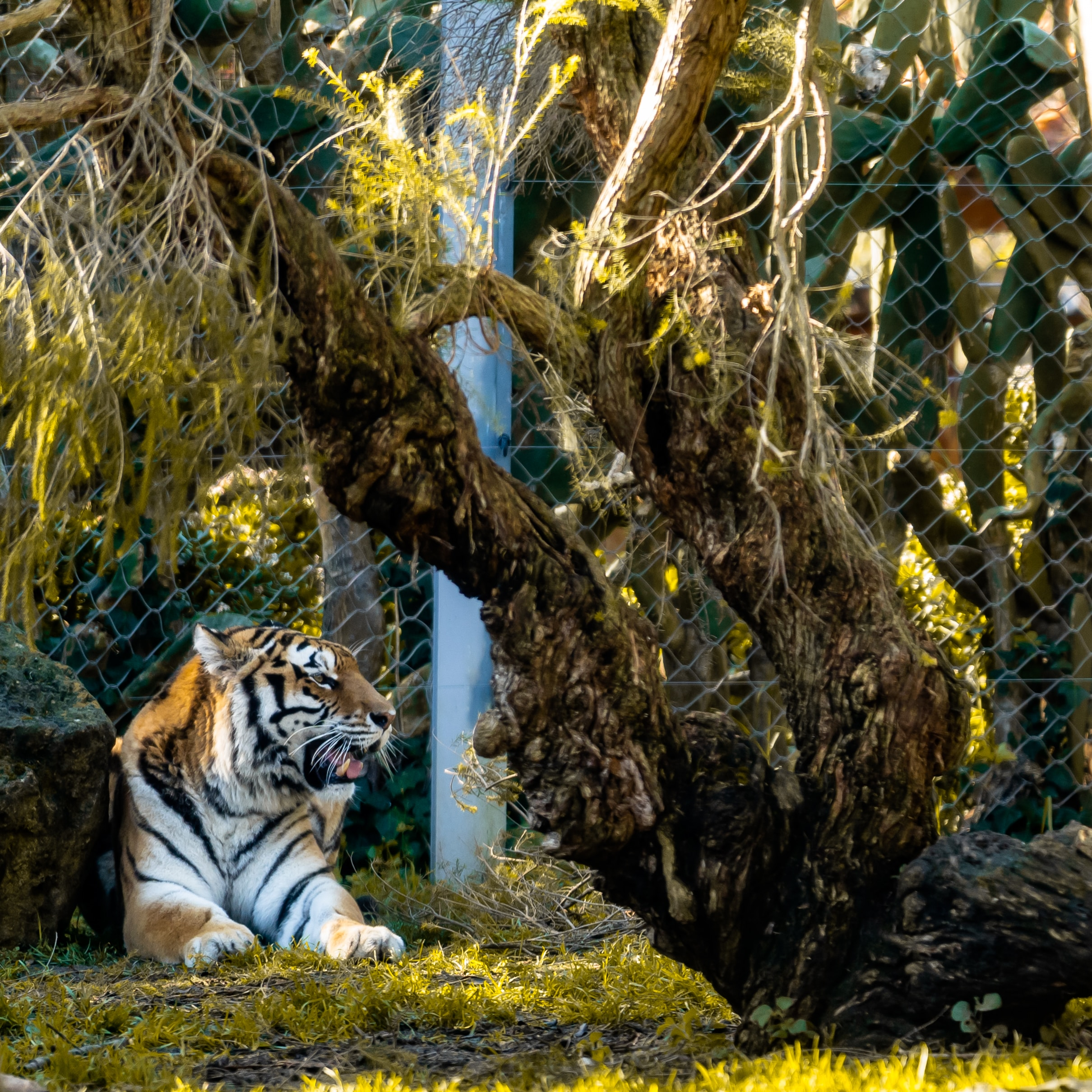 135278 download wallpaper Animals, Tiger, Big Cat, Predator, Beast screensavers and pictures for free