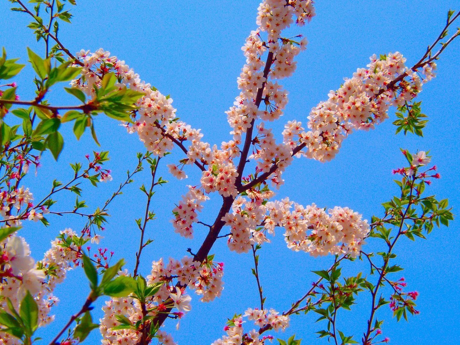 129460 Salvapantallas y fondos de pantalla Flores en tu teléfono. Descarga imágenes de Flores, Florecer, Floración, Rama, Primavera, Cielo, Hojas gratis