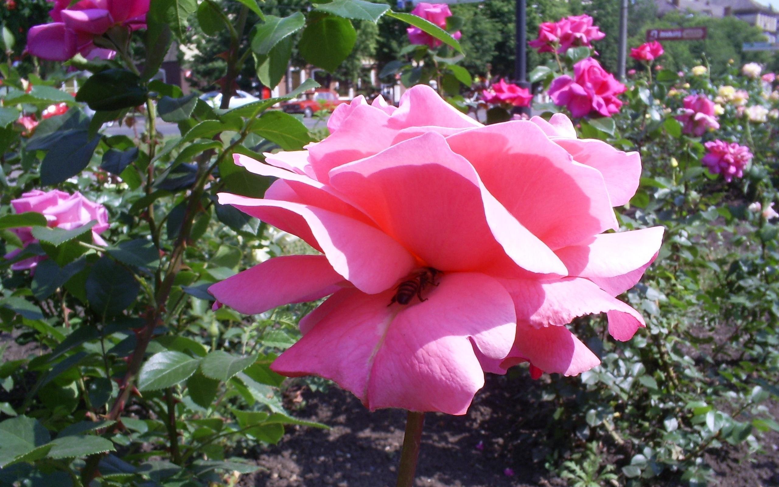 882 скачать обои Растения, Цветы, Розы - заставки и картинки бесплатно