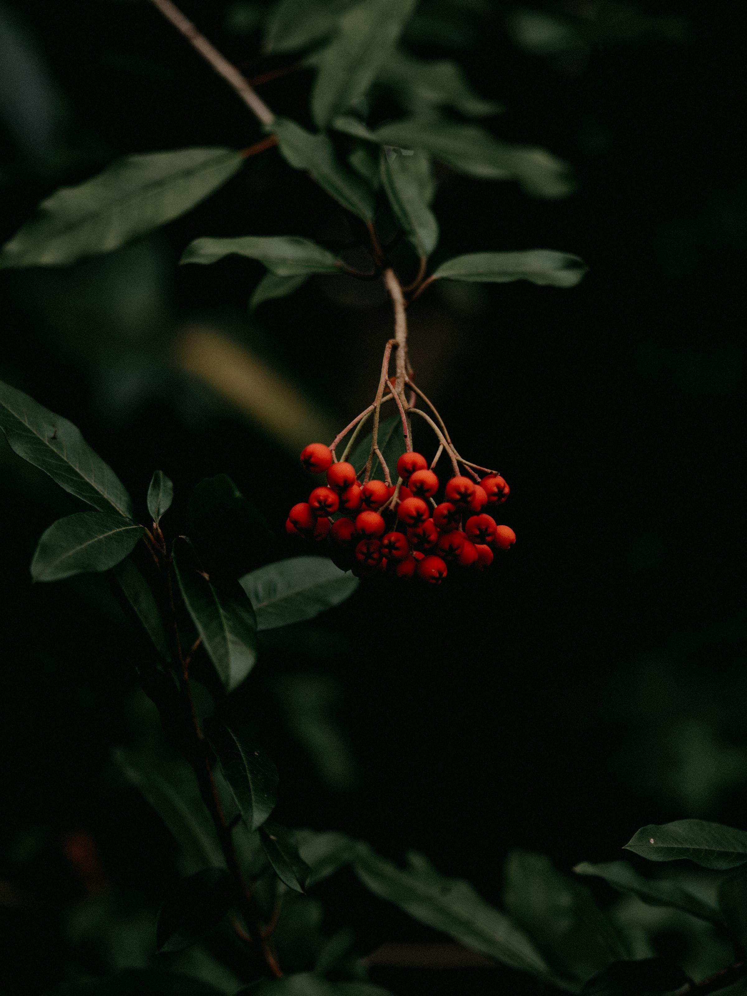 122976 скачать обои Макро, Рябина, Гроздь, Красный, Растение, Ягоды - заставки и картинки бесплатно