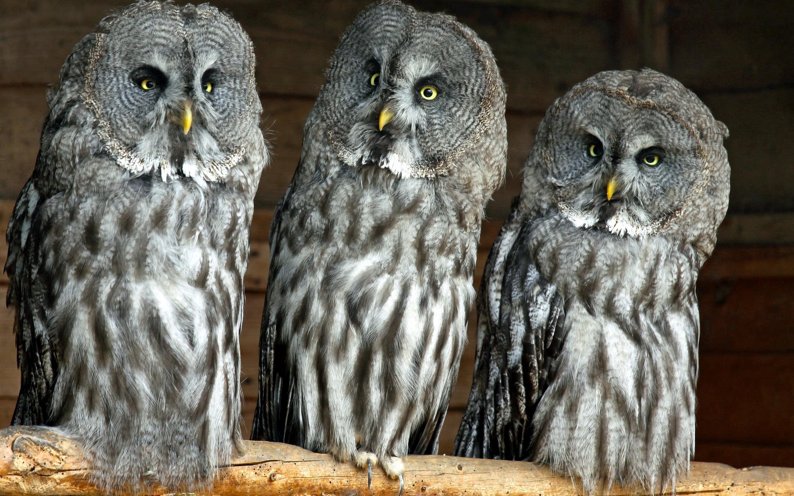 134553 скачать обои Животные, Трое, Хищники, Птицы, Совы - заставки и картинки бесплатно