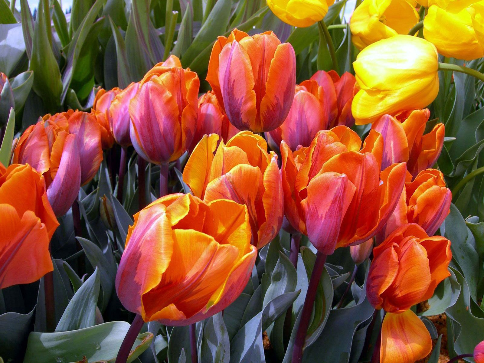 68206 descargar fondo de pantalla Flores, Cogollos, Brotes, Disuelto, Suelto, Tulipanes: protectores de pantalla e imágenes gratis