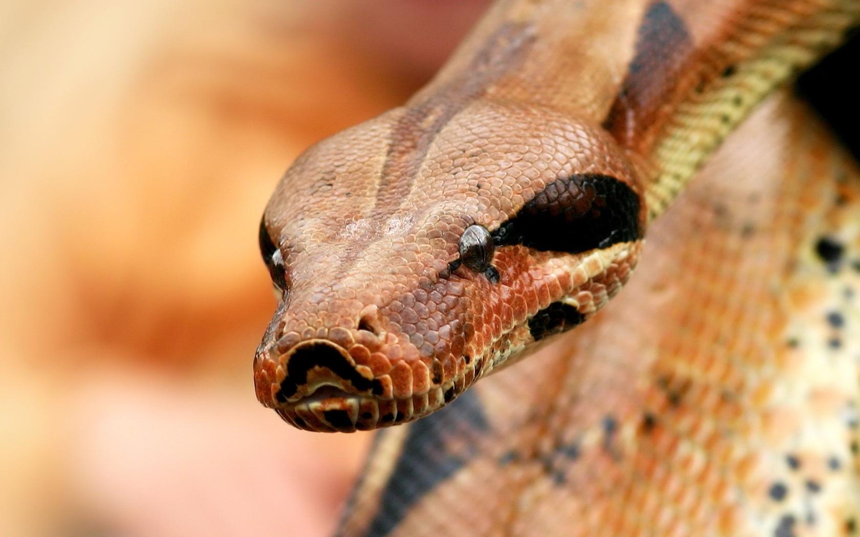 5661 скачать обои Змеи, Животные - заставки и картинки бесплатно