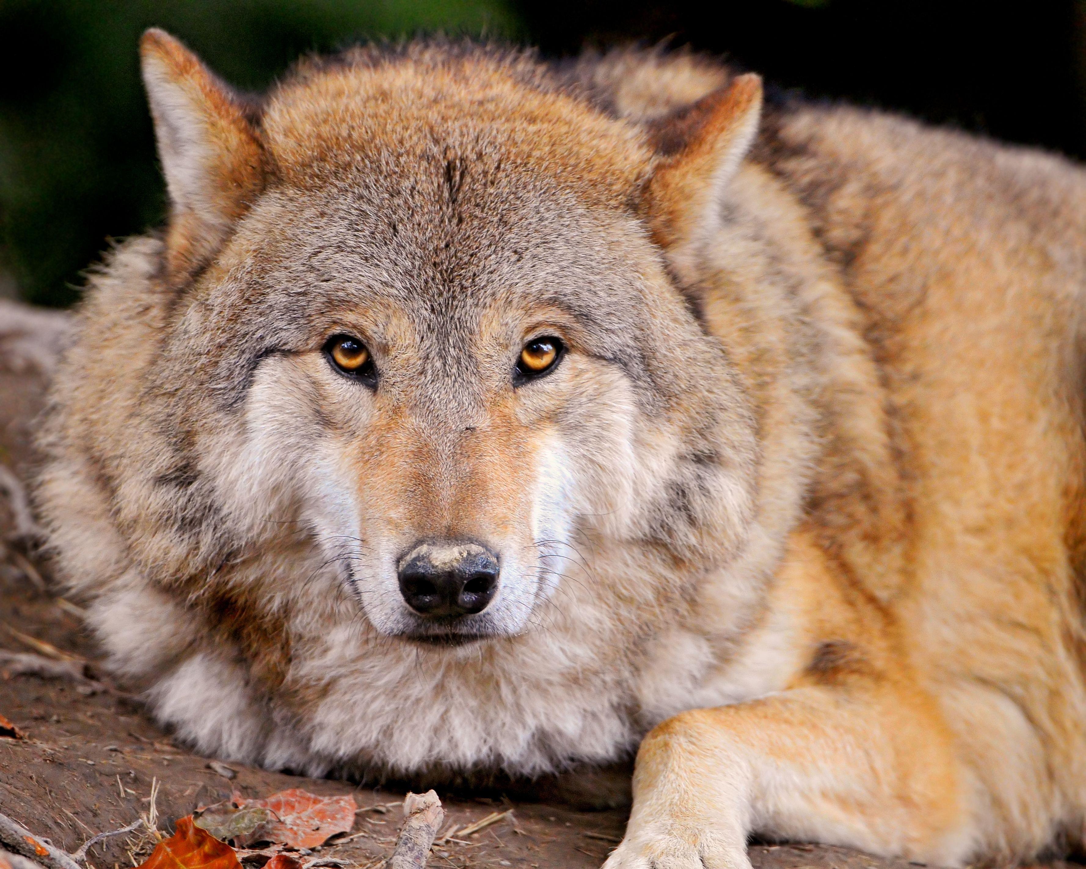 105079 descargar fondo de pantalla Animales, Lobo, Depredador, Tumbarse, Mentir, Bozal, Familia Canina, Familia De Perros: protectores de pantalla e imágenes gratis