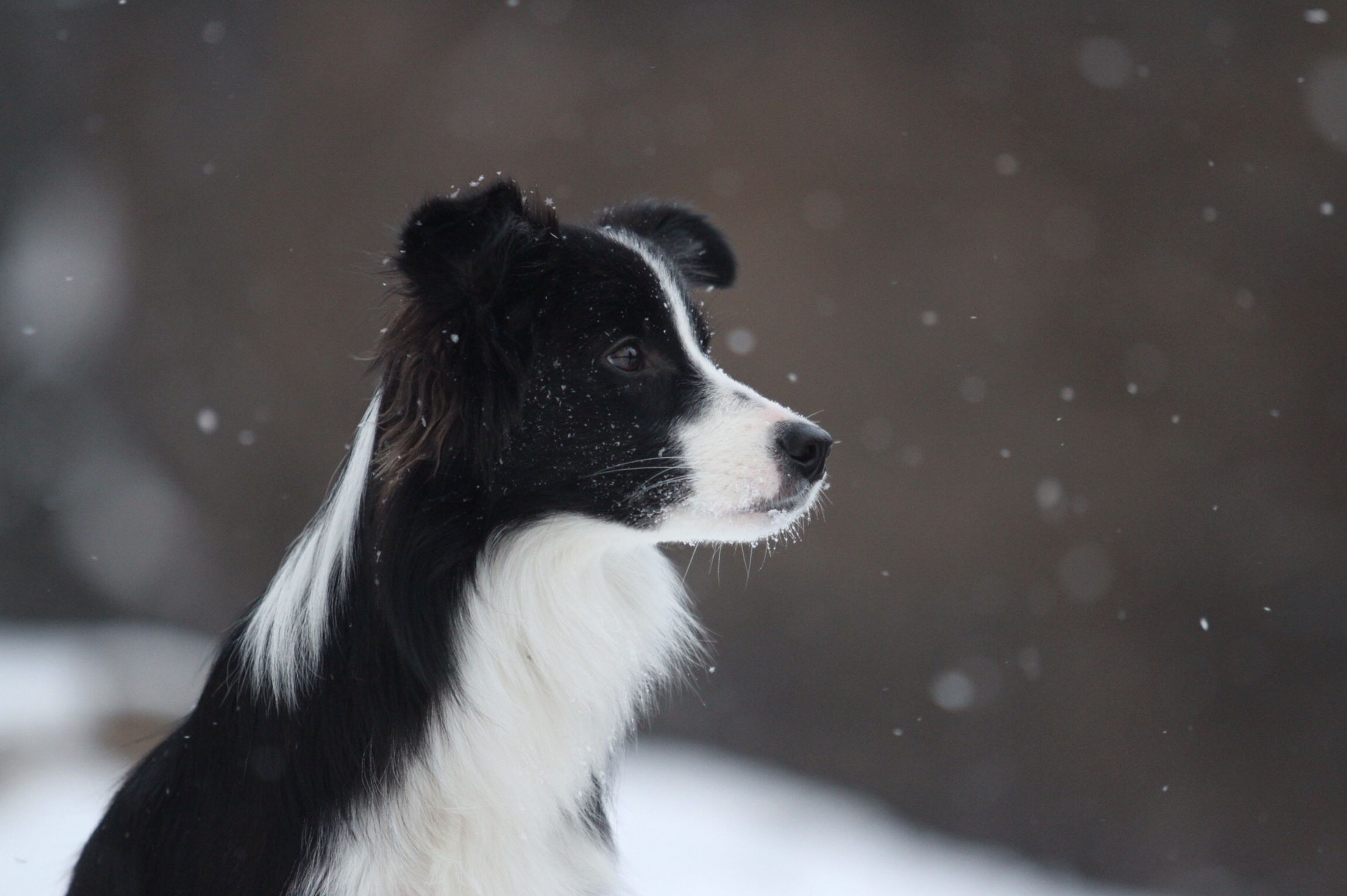 134925 download wallpaper Animals, Border Collie, Dog, Spotted, Snow screensavers and pictures for free