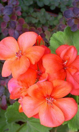 4514 скачать обои Растения, Цветы - заставки и картинки бесплатно