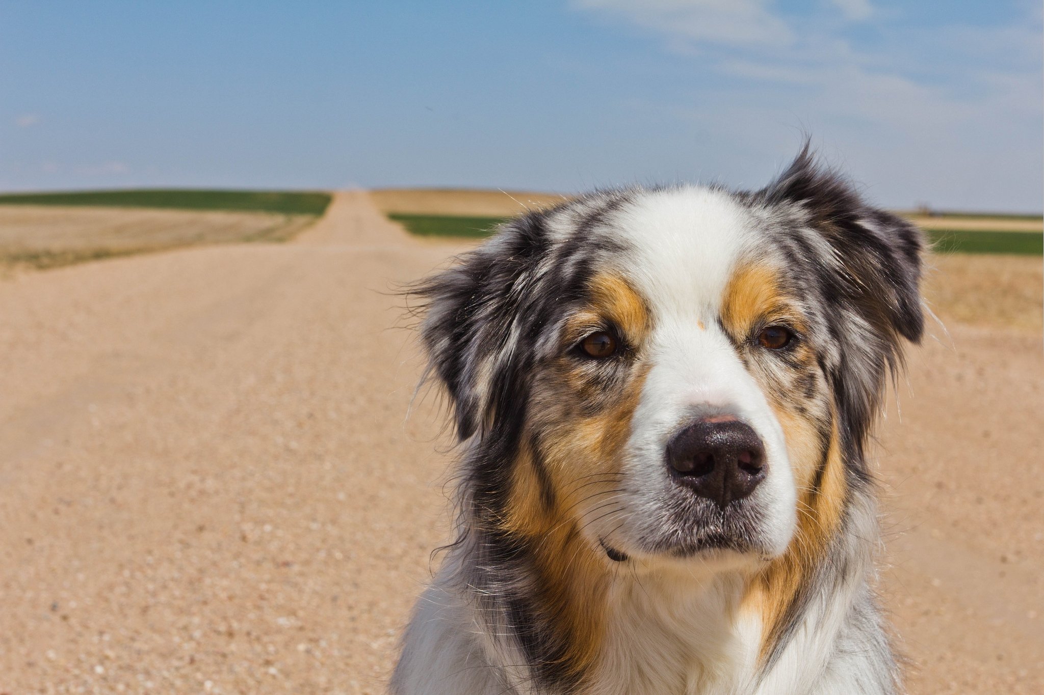 88995 download wallpaper Animals, Australian Shepherd, Muzzle, Spotted, Spotty, Road screensavers and pictures for free