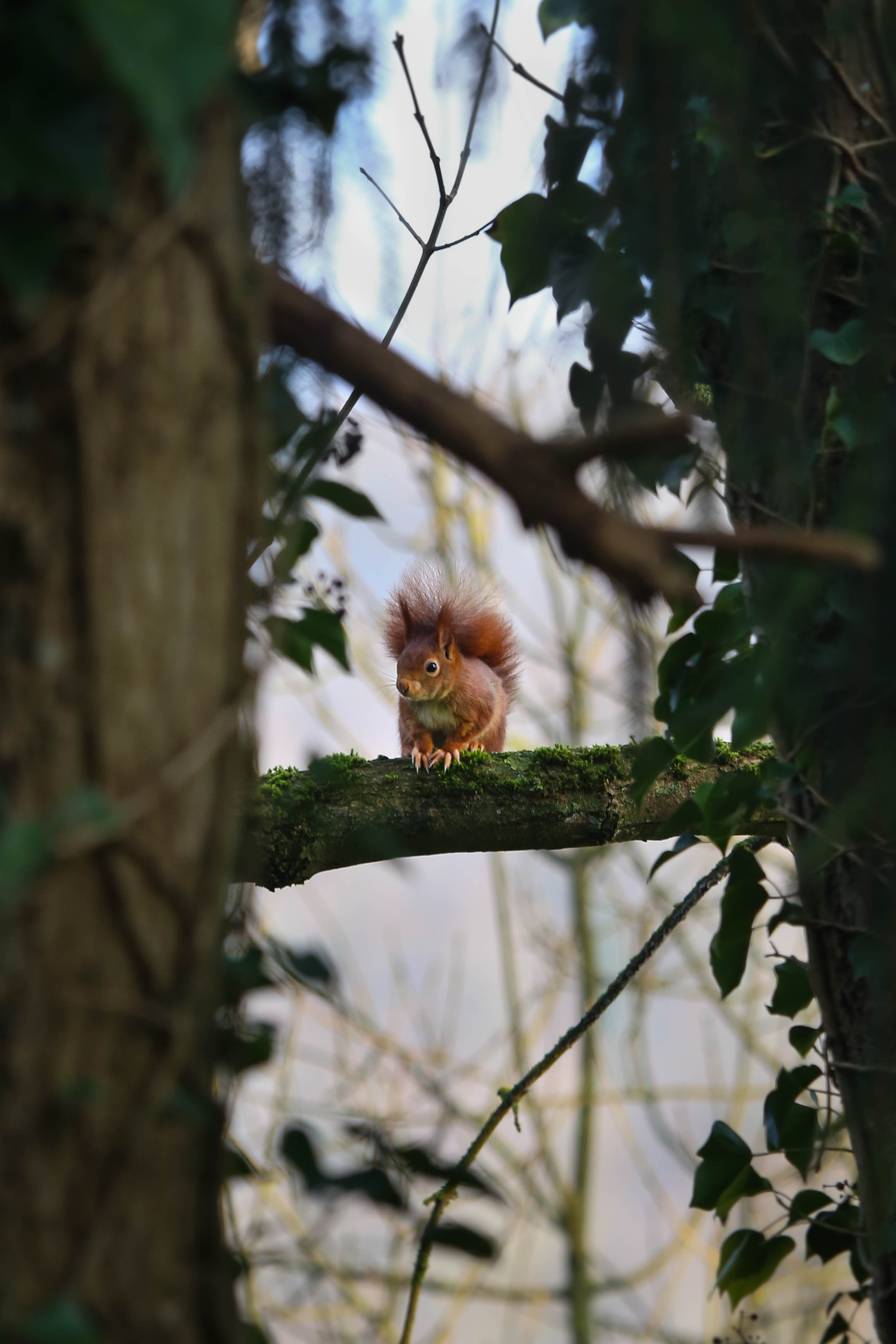 95810 download wallpaper Animals, Squirrel, Branches, Wildlife, Wood, Tree screensavers and pictures for free
