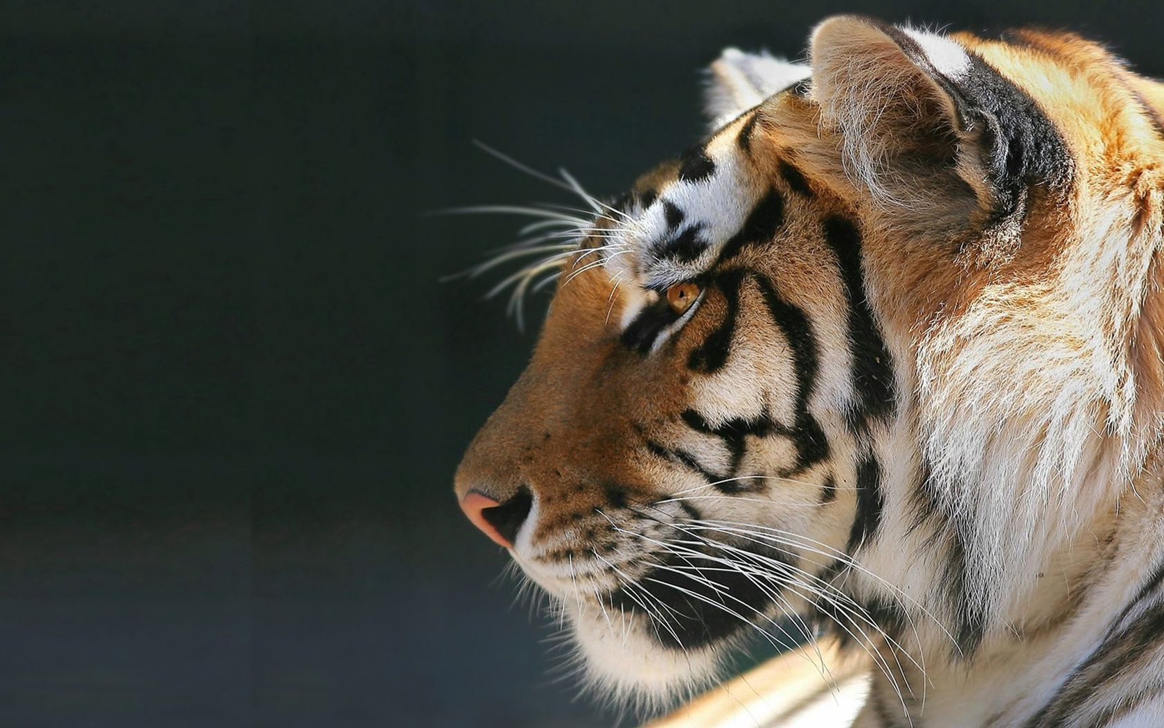 121445 download wallpaper Animals, Tiger, Calmness, Tranquillity, Animal, Predator screensavers and pictures for free