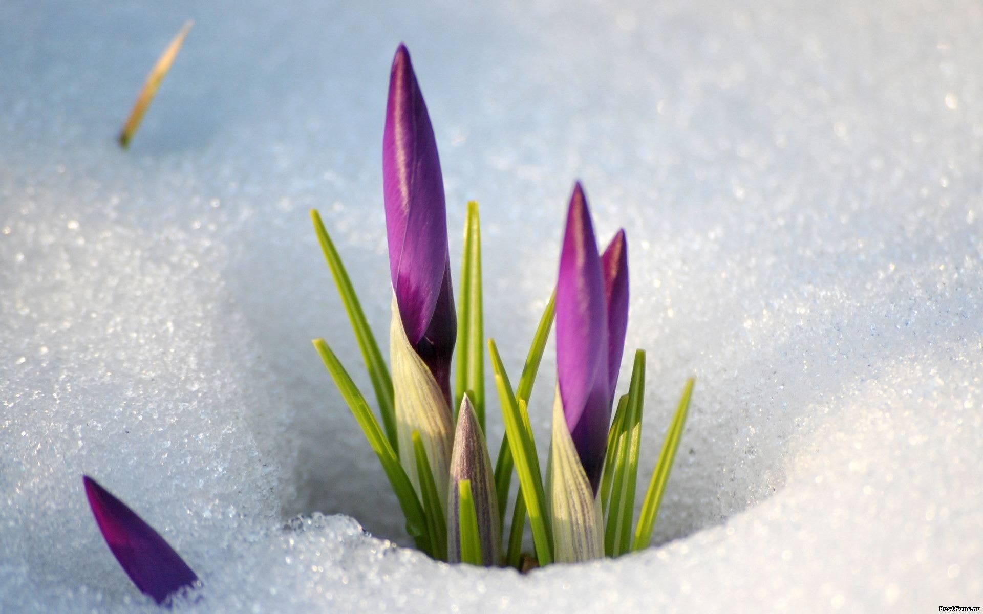 16200 скачать обои Растения, Зима, Цветы, Снег - заставки и картинки бесплатно