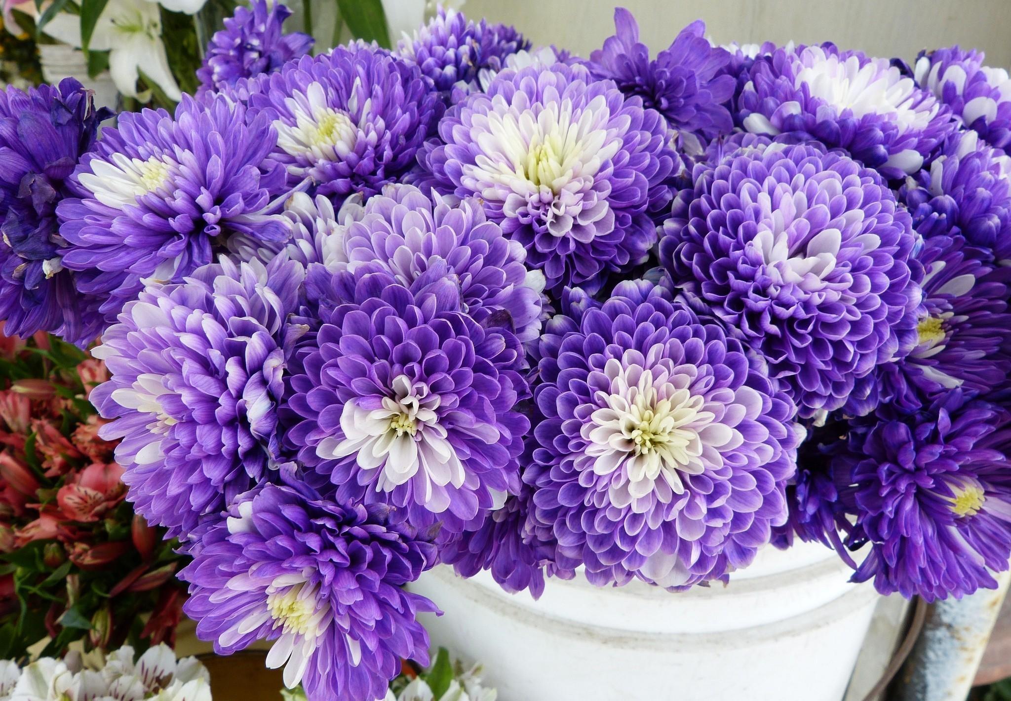 69964 скачать обои Цветы, Двухцветные, Много, Хризантемы - заставки и картинки бесплатно