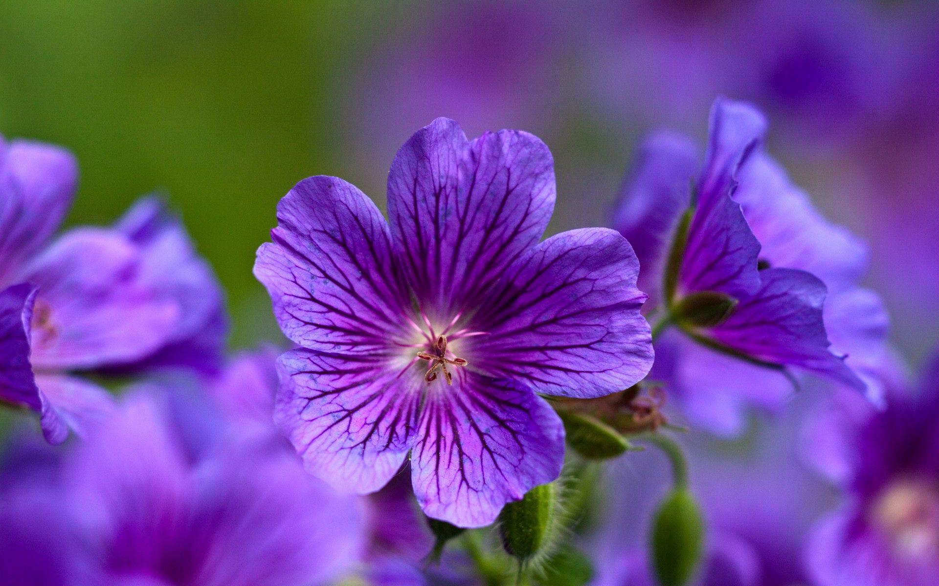 手機的152751屏保和壁紙紫罗兰。 免費下載 宏, 紫色, 紫罗兰, 特写, 花瓣, 花卉 圖片