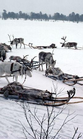 67802 descargar fondo de pantalla Naturaleza, Nieve, Ciervos, Trineo, Equipo, Transporte, Polo Norte: protectores de pantalla e imágenes gratis
