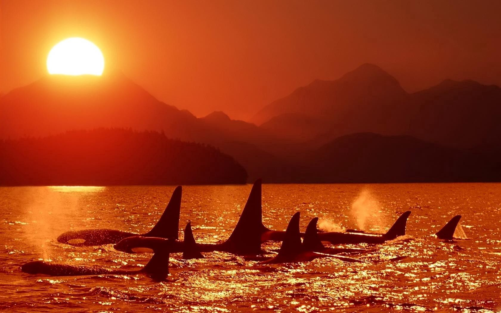 97517 download wallpaper Animals, Sunset, Sky, Dolfins, Sea, Killer Whales screensavers and pictures for free