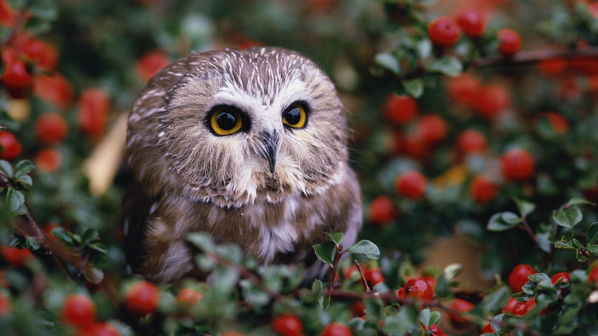 46359 download wallpaper Animals, Birds, Owl screensavers and pictures for free