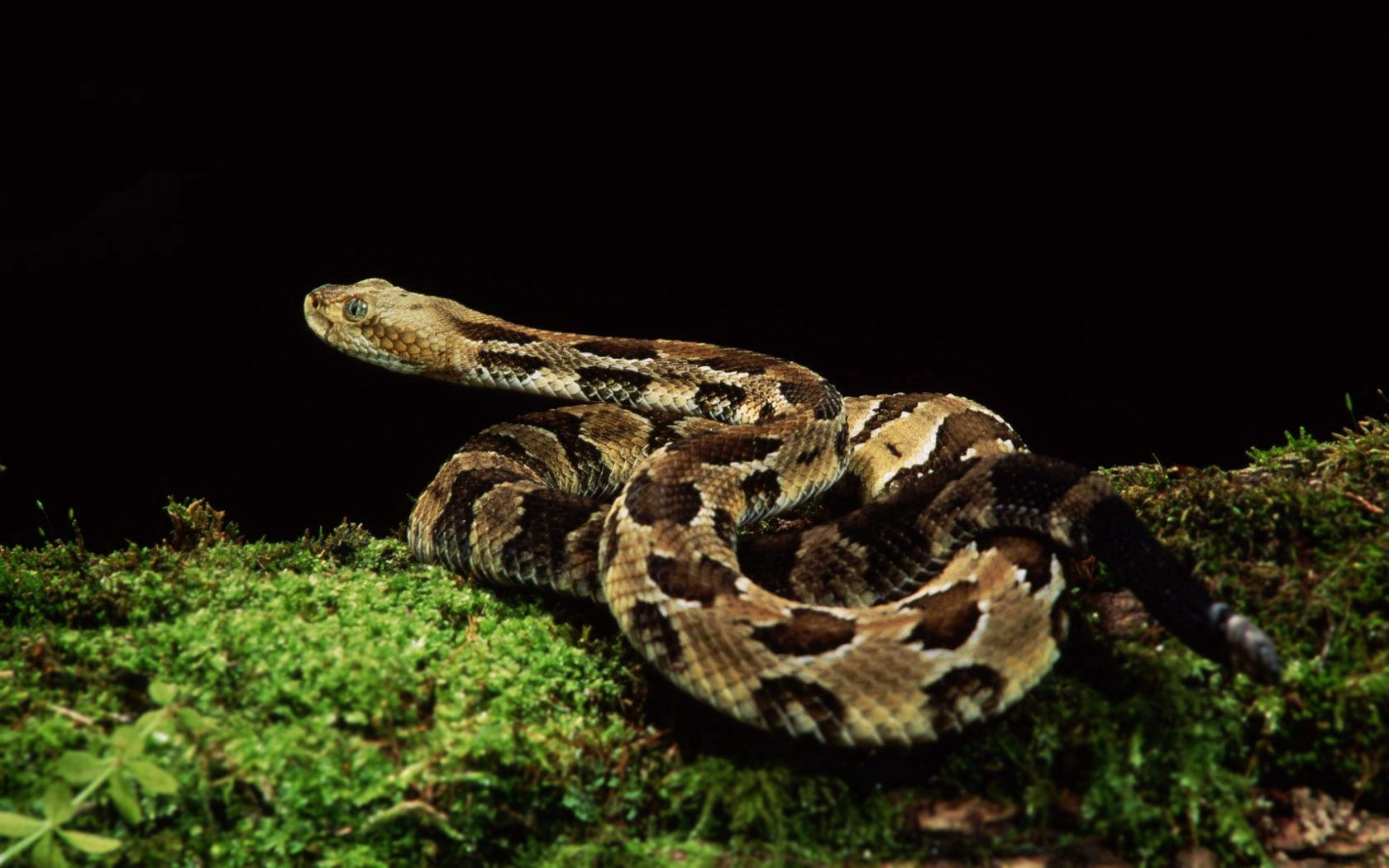 109900 Screensavers and Wallpapers Snake for phone. Download Animals, Grass, Spotted, Spotty, Snake pictures for free