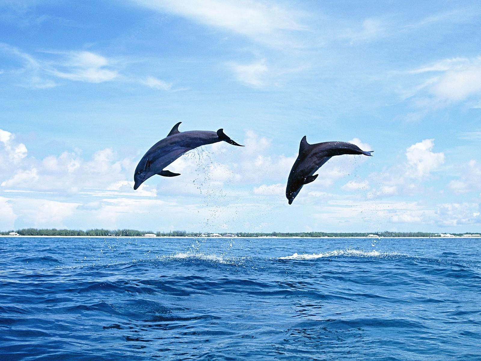 7306 Hintergrundbild herunterladen Delfine, Tiere, Natur - Bildschirmschoner und Bilder kostenlos