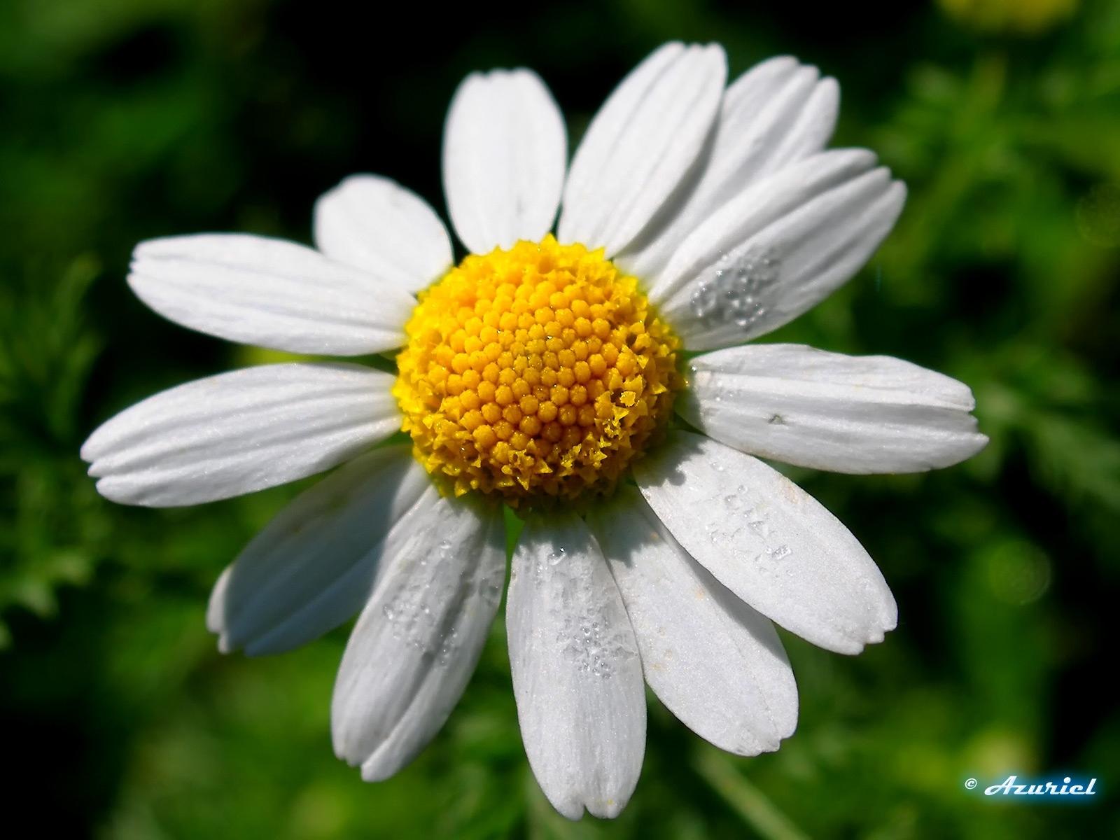2813 скачать обои Растения, Цветы, Ромашки - заставки и картинки бесплатно