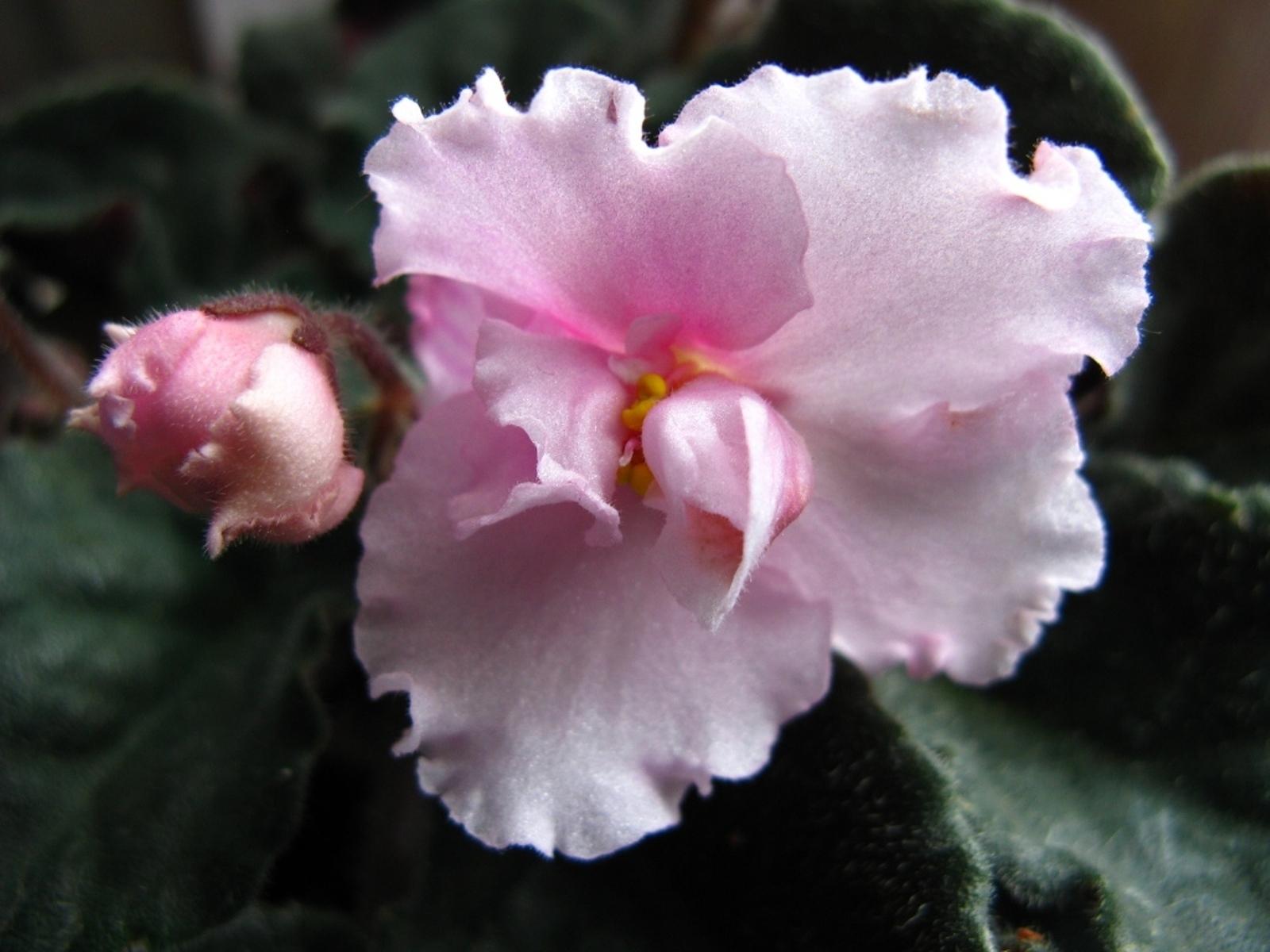 8033 скачать обои Растения, Цветы, Фиалки - заставки и картинки бесплатно