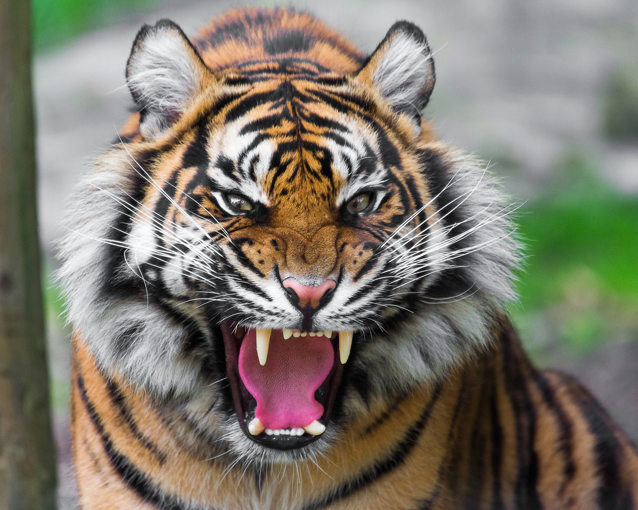 15470 download wallpaper Animals, Tigers screensavers and pictures for free