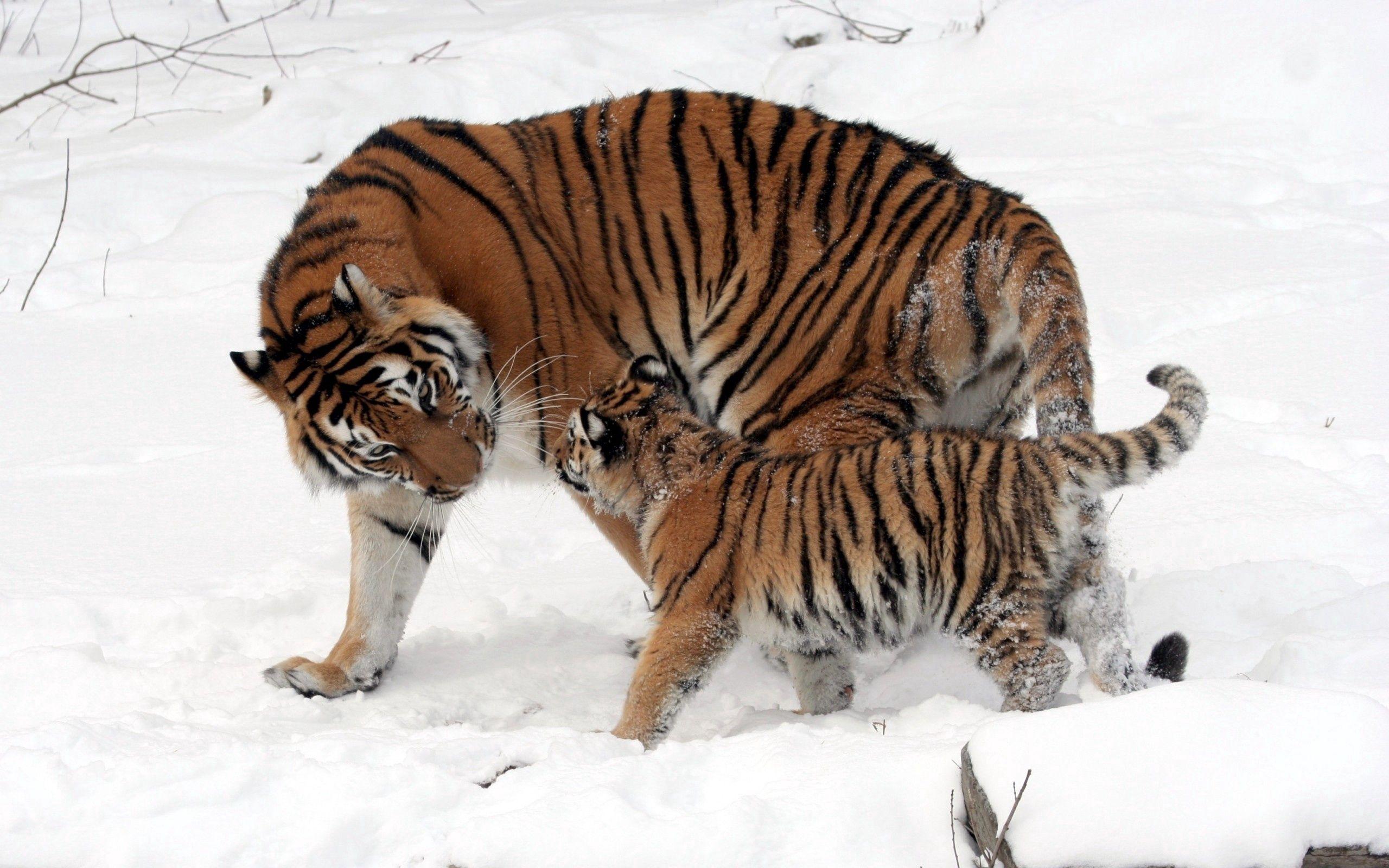 112102 Hintergrundbild herunterladen Tiere, Tigers, Schnee, Junge, Bummel, Spaziergang, Pflege, Joey - Bildschirmschoner und Bilder kostenlos