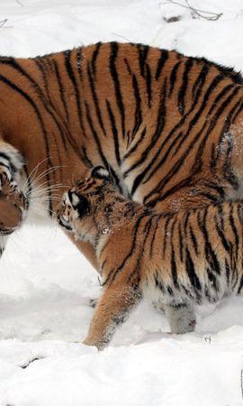 112102壁紙のダウンロード動物, 若い, ジョーイ, 雪, 散歩, お手入れ, 丁寧, 阪神タイガース-スクリーンセーバーと写真を無料で