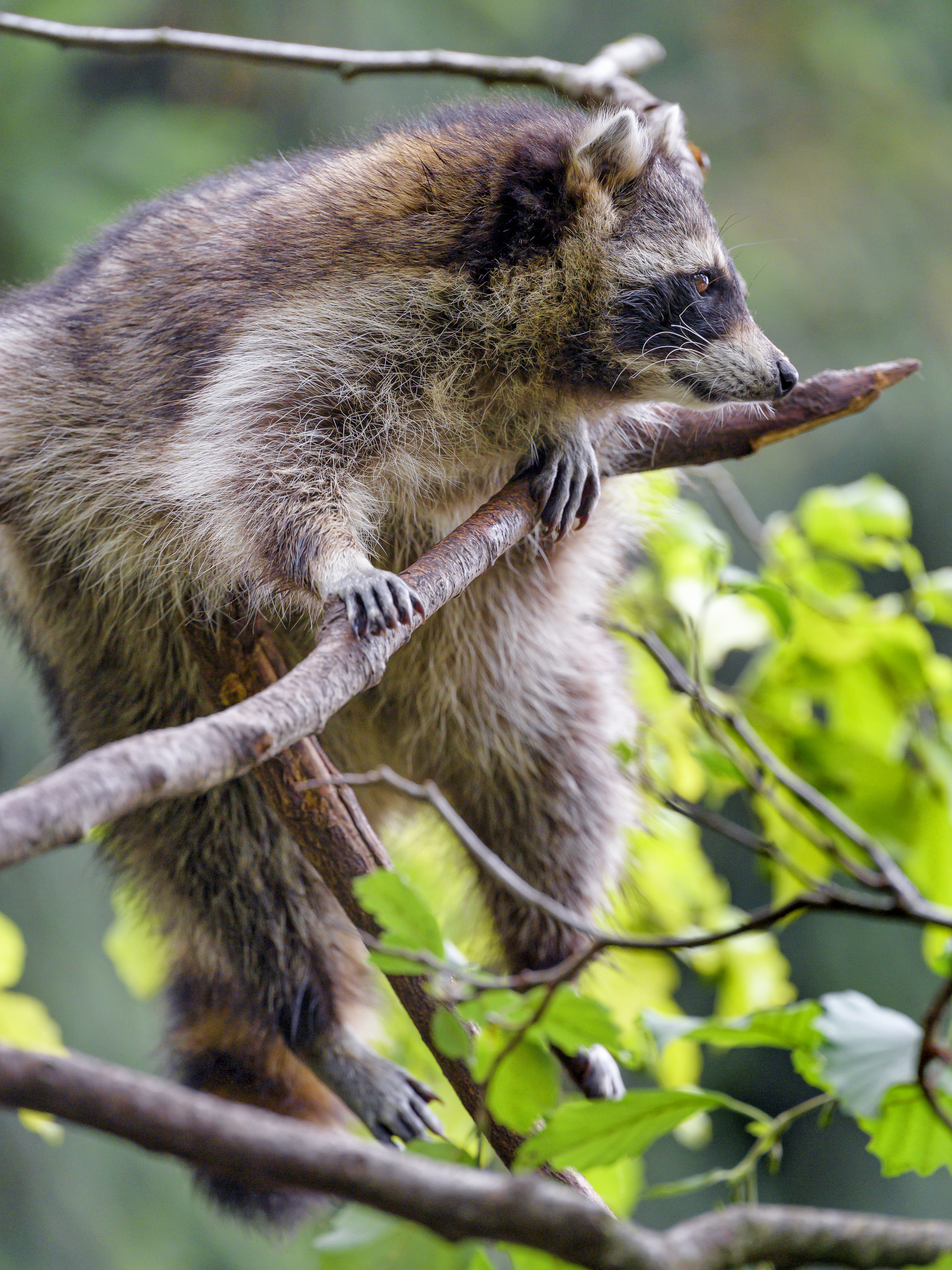 78385 download wallpaper Animals, Raccoon, Animal, Fluffy, Branch screensavers and pictures for free