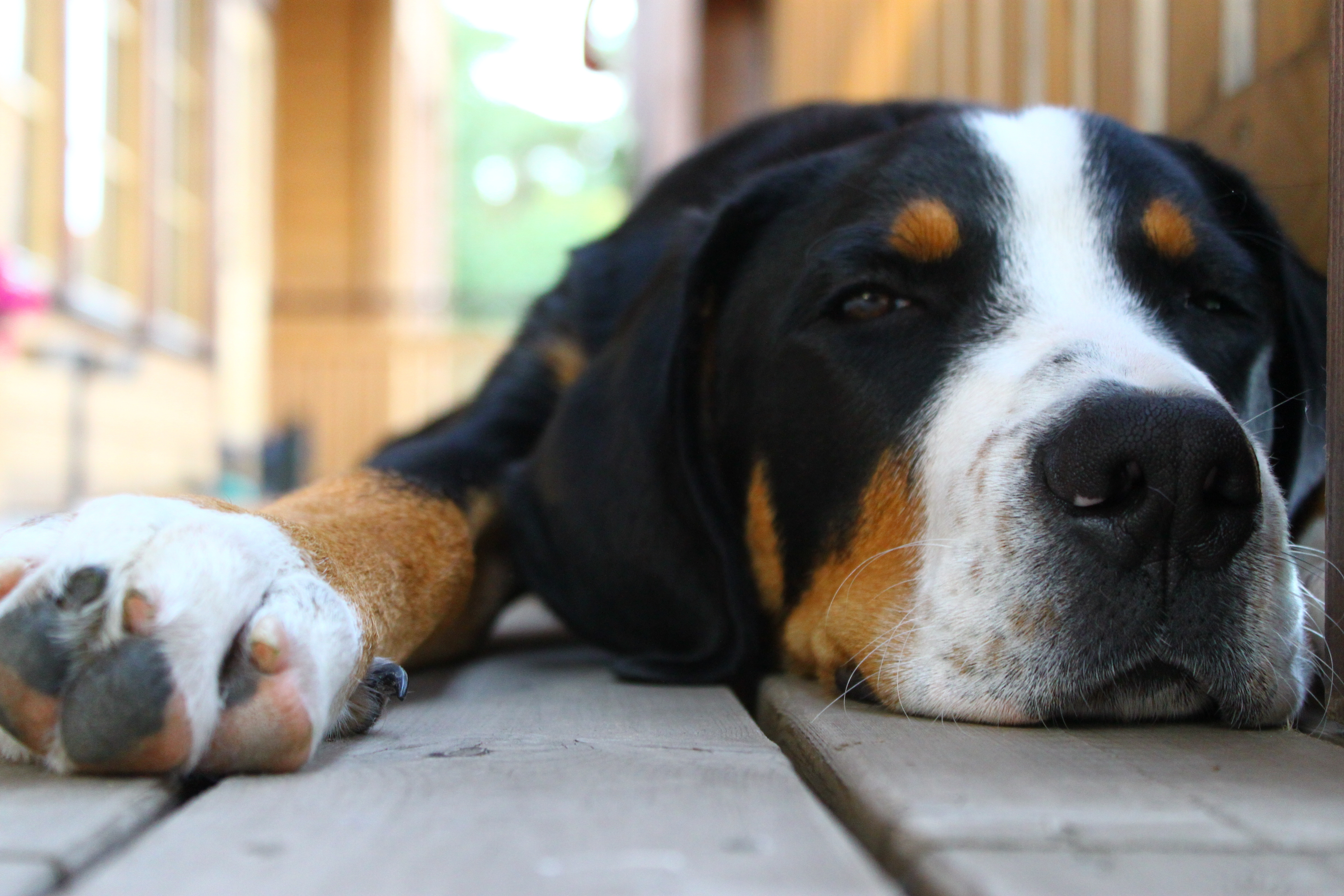 119248 download wallpaper Animals, Dog, Muzzle, Ears, Spotted, Spotty, To Lie Down, Lie screensavers and pictures for free
