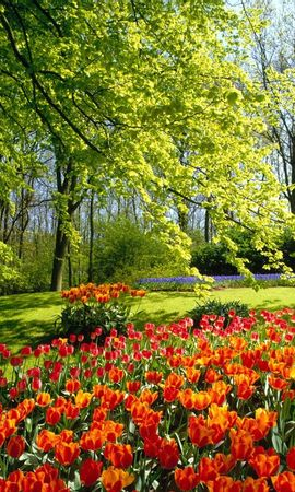 5805 download wallpaper Plants, Landscape, Flowers, Tulips screensavers and pictures for free